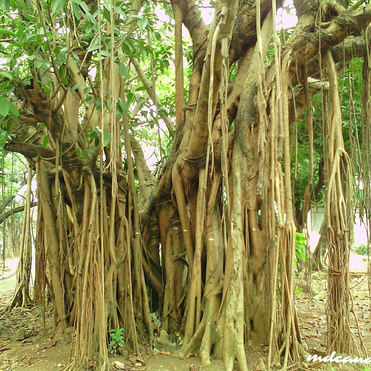 Tree Nature Tree Trunk Growth No People Outdoors Day Beauty In Nature Philippines Trees And Nature Outdoor Photography Outdoors, Outside, Open-air, Air, Fresh, Fresh Air, Outdoor Beauty Beauty In Nature Green Color Nature Growth Trees Outdoor Pictures Philippines Photos