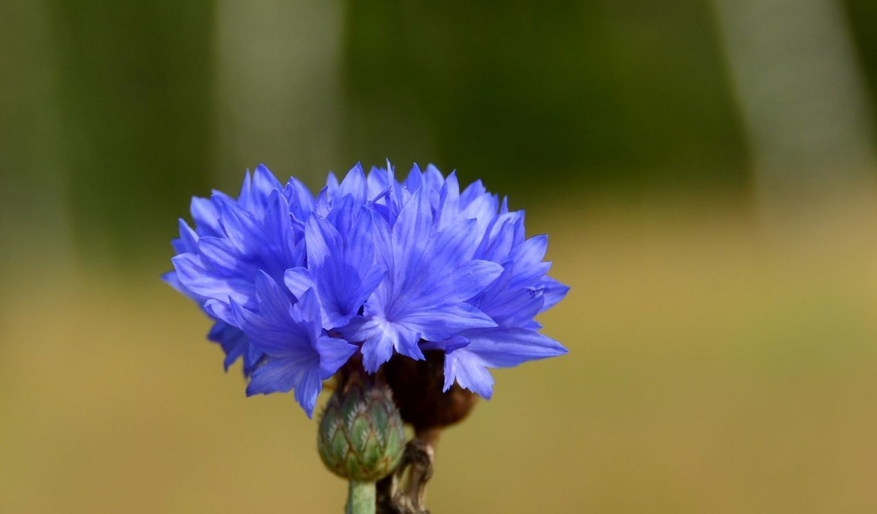 flower, petal, freshness, fragility, purple, flower head, growth, beauty in nature, single flower, close-up, focus on foreground, nature, blooming, stem, plant, in bloom, blue, blossom, selective focus, pollen