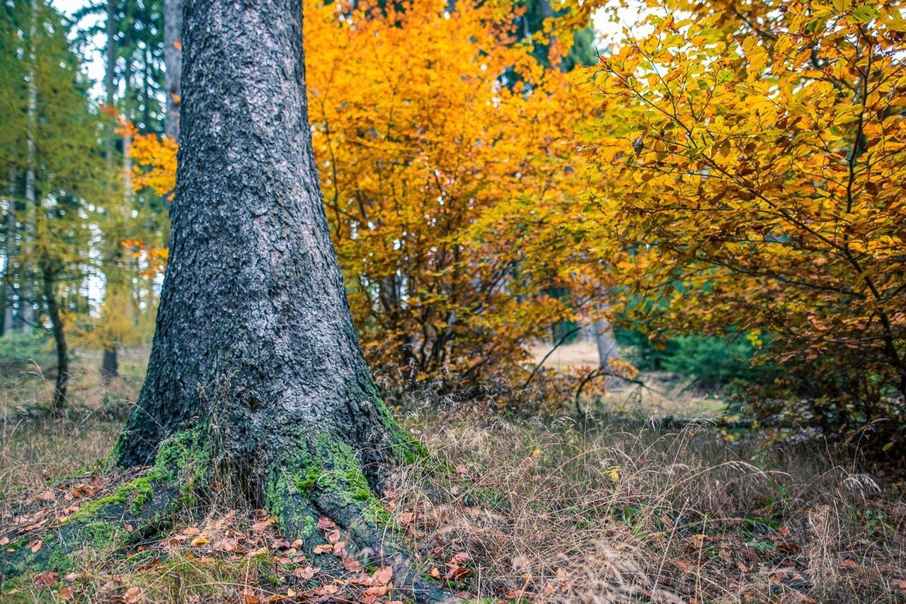 tree, forest, nature, tree trunk, scenics, autumn, woodland, beauty in nature, leaf, landscape, no people, outdoors, environment, tranquil scene, tranquility, day, wilderness area, growth, deciduous tree, change, plant, travel destinations, rural scene, sunset, yellow, low angle view, mountain, grass, multi colored, forest fire, sky, tree area