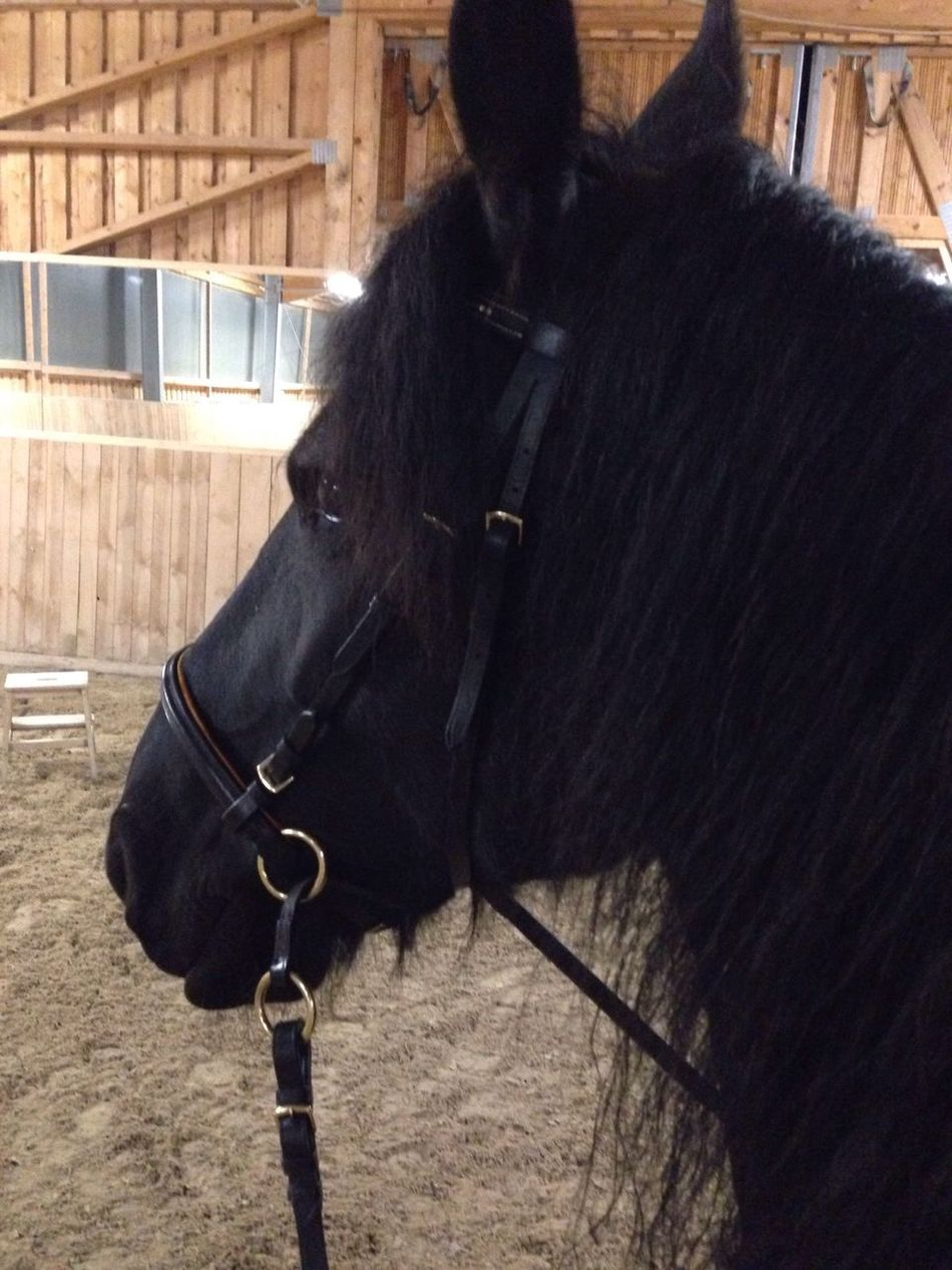 Horse Bitless Bridle Domestic Animals Animal Themes One Animal Livestock Mammal Herbivorous Working Animal Standing Day Close-up Outdoors No People Nature Black Horse Friesen Lilli💝 I Love My Horse I Love Horses IPhoneography Horses Indoors