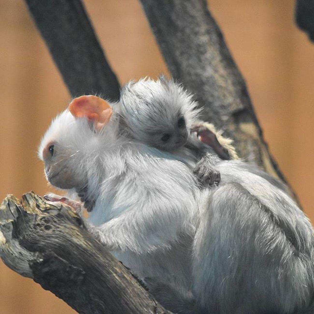 Affenmama Affen , Ape , Baby , Family , Spring , Frühling , Kuscheln  , Warm , Love , Liebe