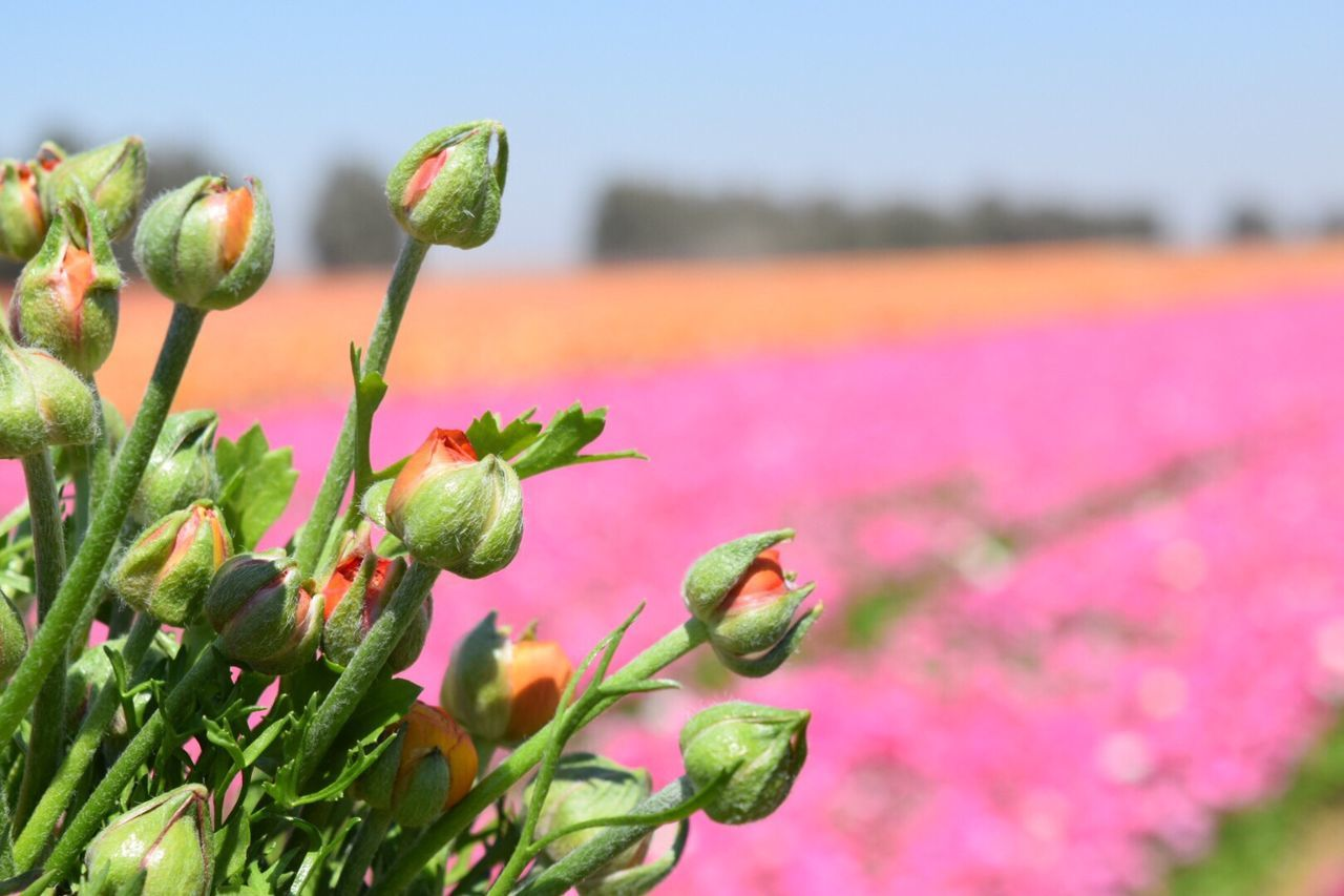 Flower Flowers Growth Nature Plant Beauty In Nature New Life Freshness Focus On Foreground Close-up No People Outdoors Fragility Green Color Day Sky Flower Head Pink Color Agriculture Happy Spring