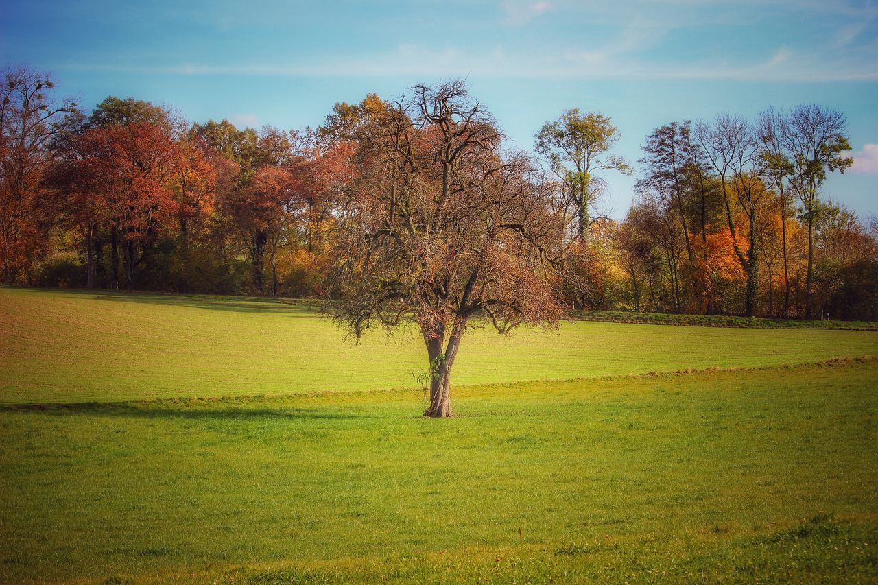 tree, tranquility, nature, beauty in nature, tranquil scene, grass, landscape, scenics, solitude, autumn, green color, branch, field, no people, growth, outdoors, bare tree, day, sky
