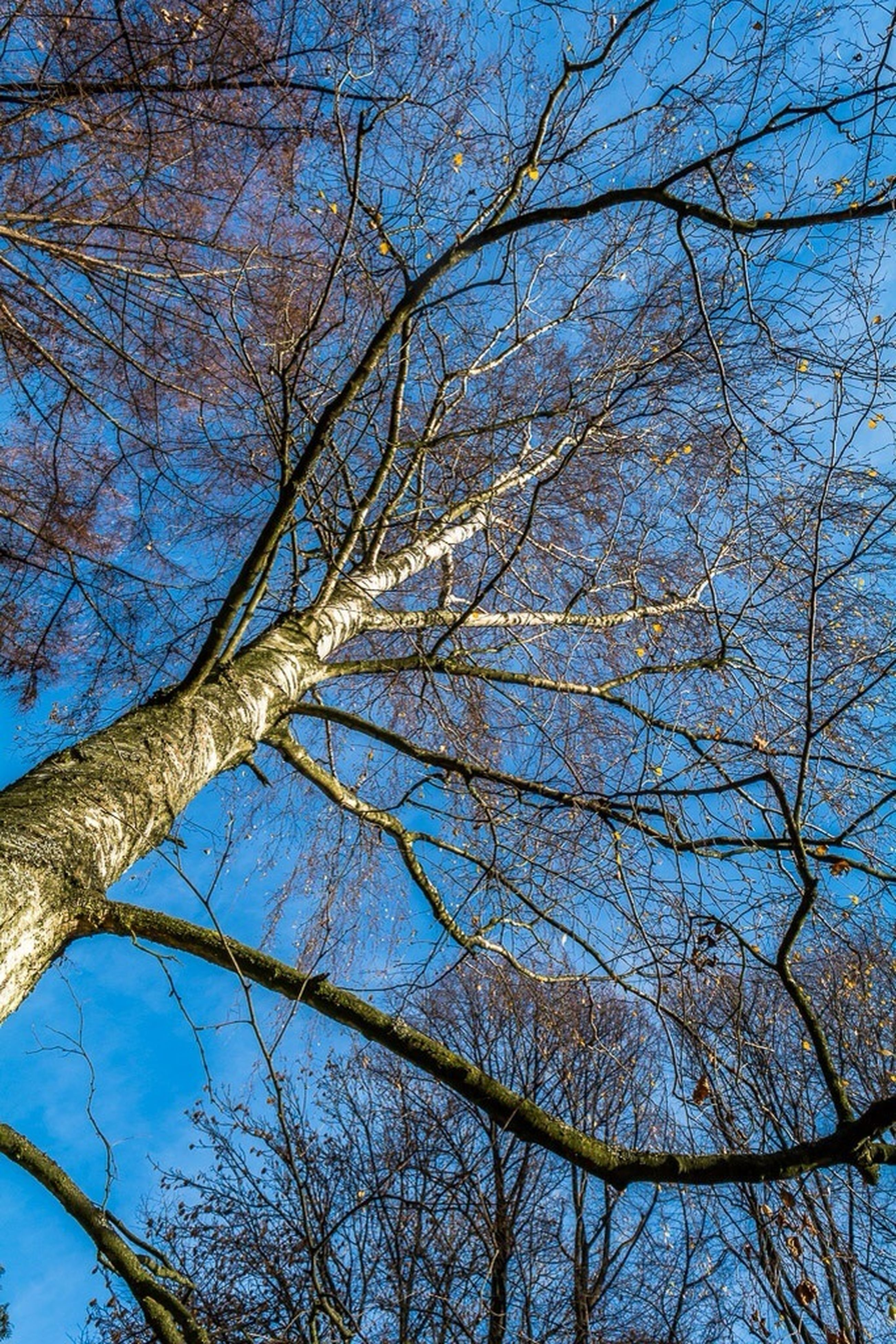 tree, low angle view, branch, bare tree, blue, sky, nature, beauty in nature, tranquility, growth, tree trunk, clear sky, scenics, outdoors, day, no people, backgrounds, high section, sunlight, silhouette