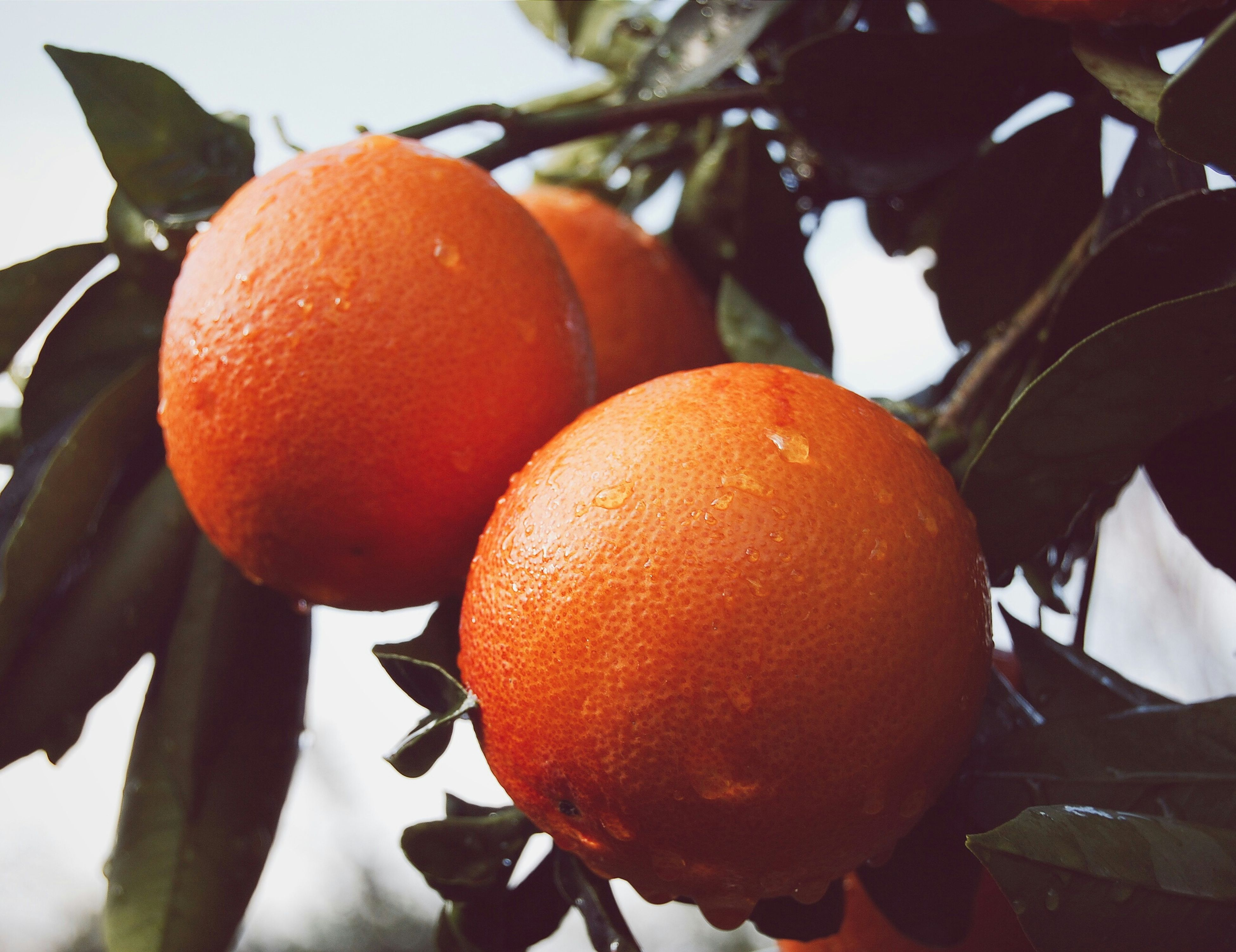 food and drink, fruit, food, freshness, healthy eating, tree, close-up, leaf, focus on foreground, orange color, branch, growth, hanging, no people, orange - fruit, ripe, nature, outdoors, red, low angle view