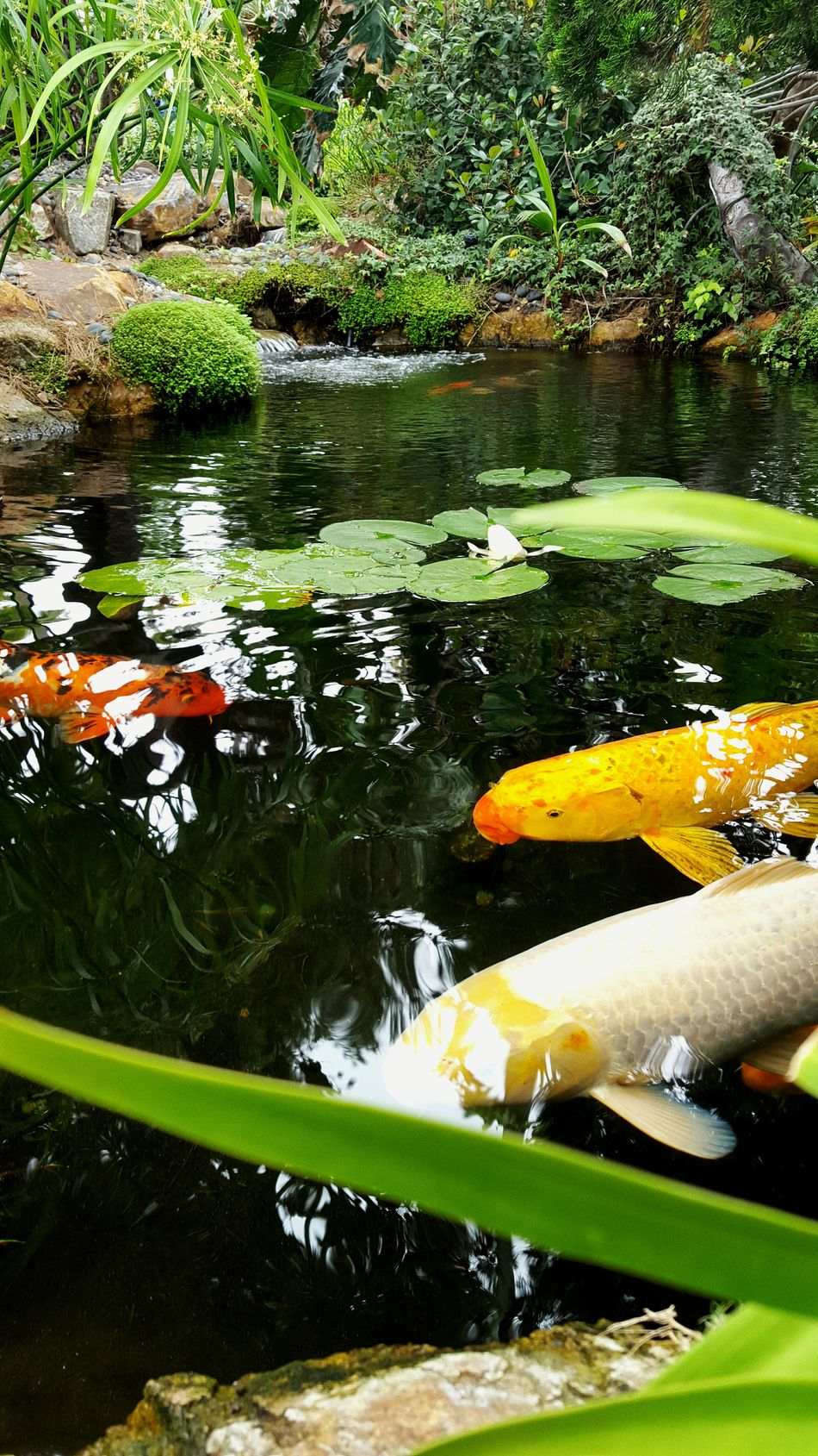 Just watching traffic go by. Koi Pond Selfrealizationgarden Encinitas Fish Sunday Colorsplash Water Lillies