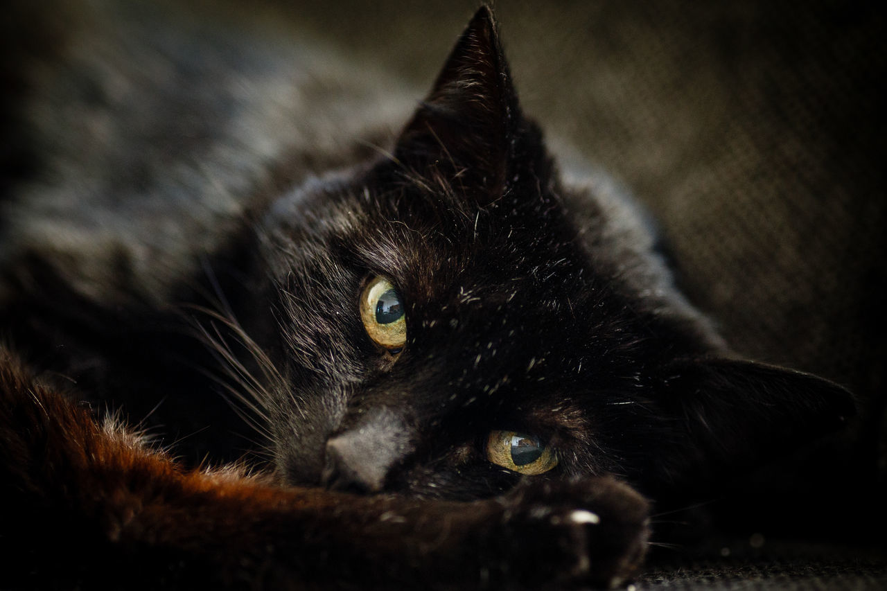 just another panter Alertness Animal Head  Animal Themes Black Color Black Panter Boredom Cat Close-up Devil Domestic Animals Domestic Cat Feline Indoors  Kitty Looking At Camera Lying Down Mammal One Animal Pets Portrait Relaxation Resting Whisker Melancholy The Mix Up