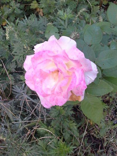 Last Summer Rose Taking Photos