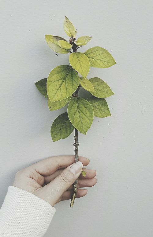 Human Hand Leaf Holding Leisure Activity Gardening Close-up Plant Green Color Freshness Growth Branch Enjoy The New Normal Herbal Medicine Grass