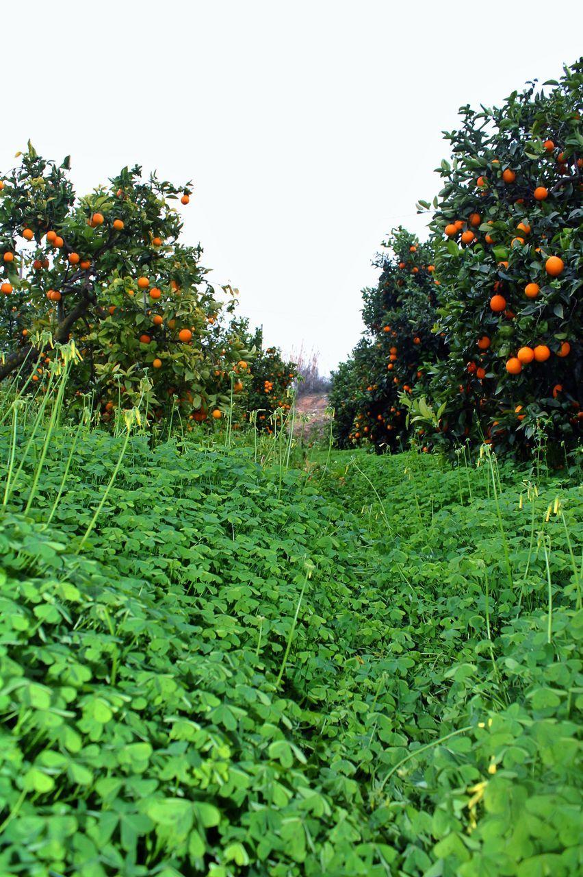 Orange Trees Growing On Field Against Sky