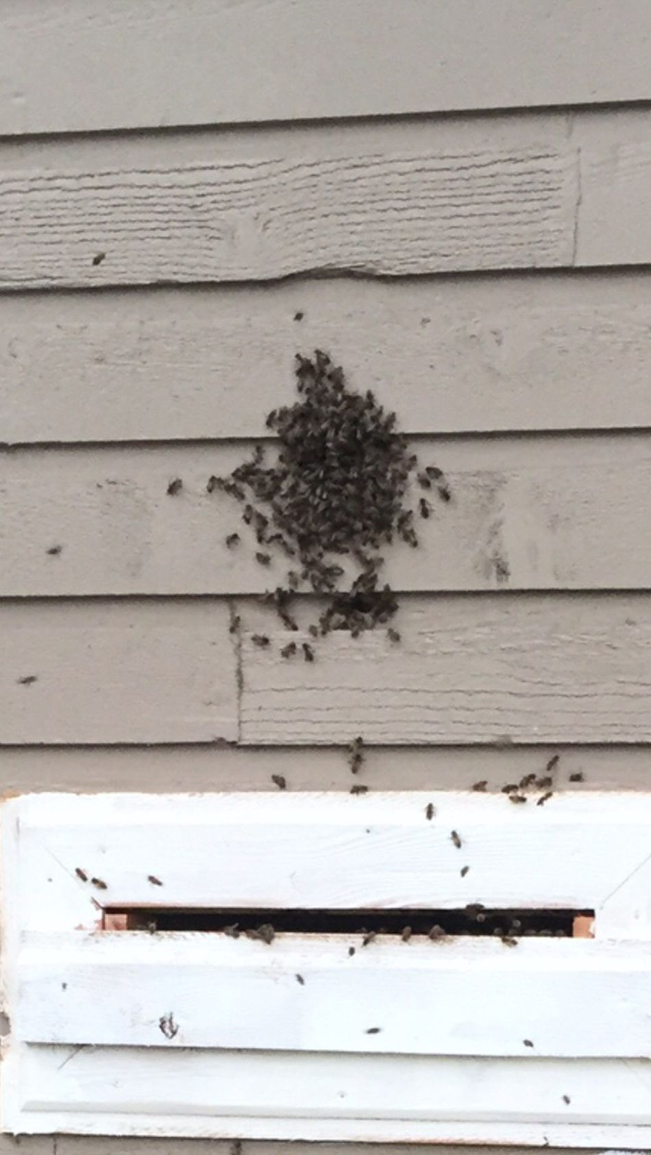 On a hot day some bees hang out near the entrance. Bees closely regulate the temperature of their hive. On a hot day some field bees will be asked to step outside to cool the hive a bit. Later in the day they go back inside Bees Save The Bees Heat Self Regulation