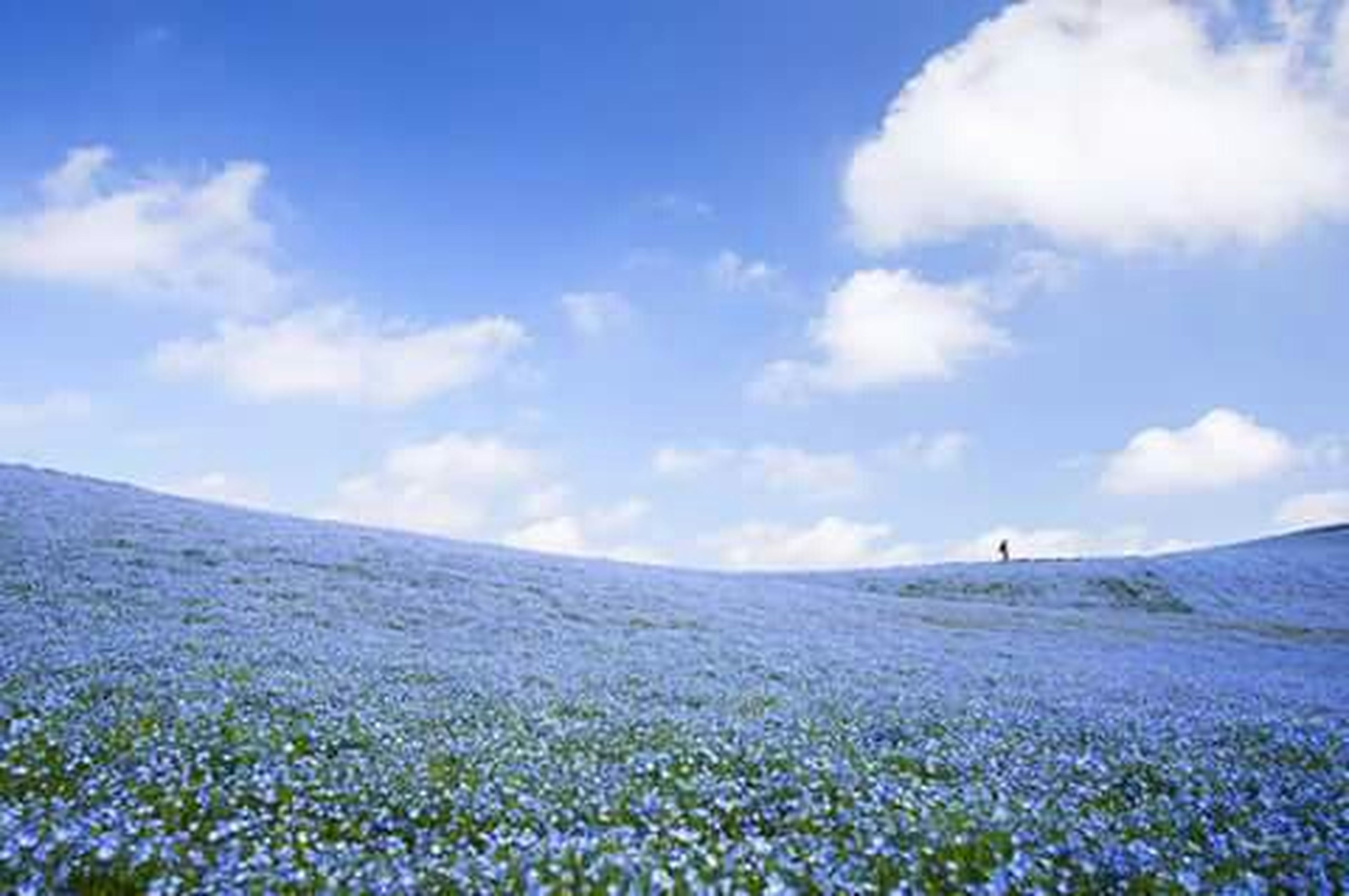 sky, tranquil scene, landscape, tranquility, beauty in nature, scenics, field, flower, nature, cloud - sky, blue, plant, growth, cloud, mountain, non-urban scene, horizon over land, day, grass, rural scene