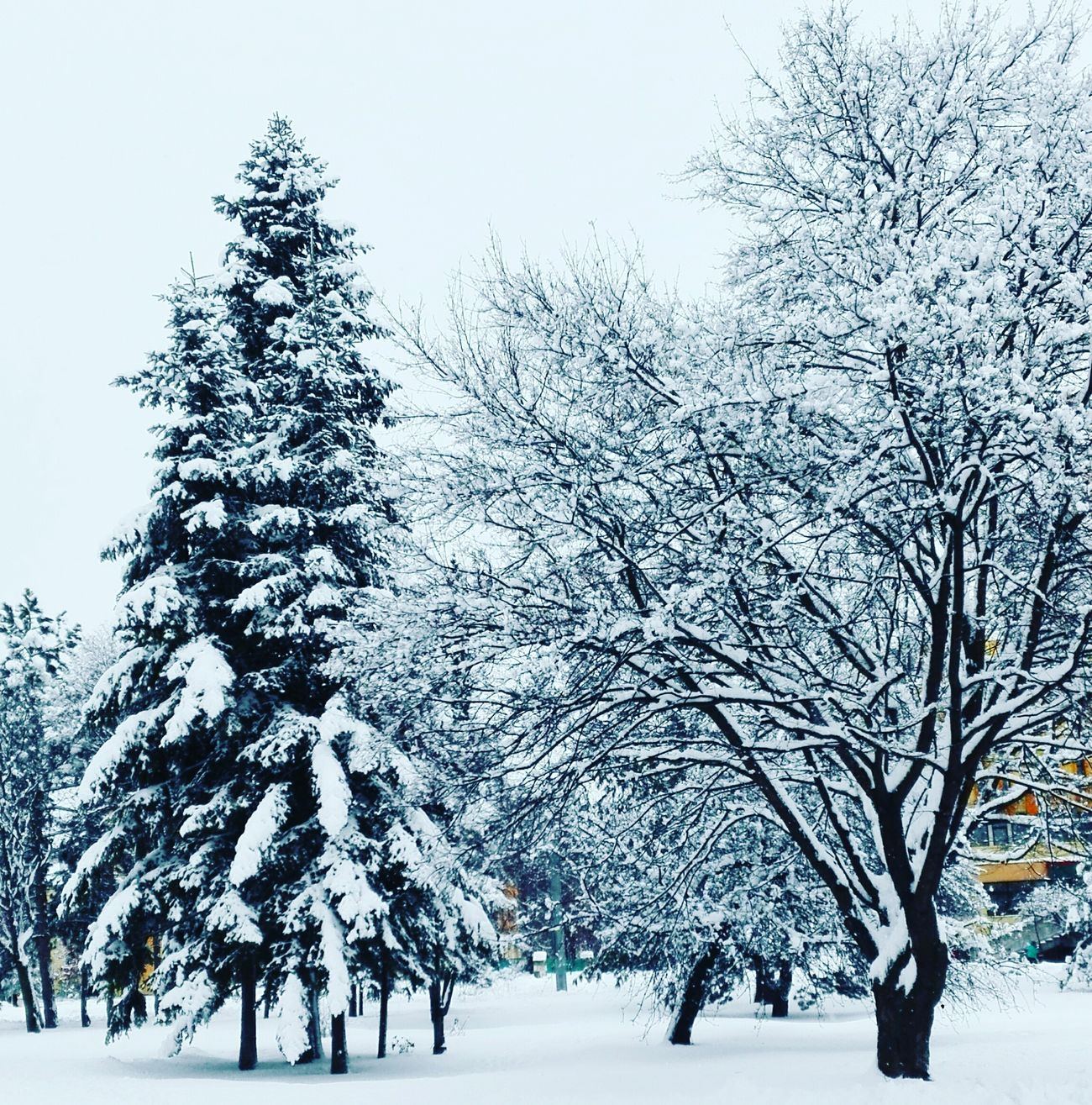 Winter Wonderland ❄ Looks like a Postcard 😊 Winter Wintertime Winter Trees Cold Temperature Snow Outdoors Nature Beauty In Nature White No People Tranquility Peaceful Moment Naturephotography Weather Pinetree