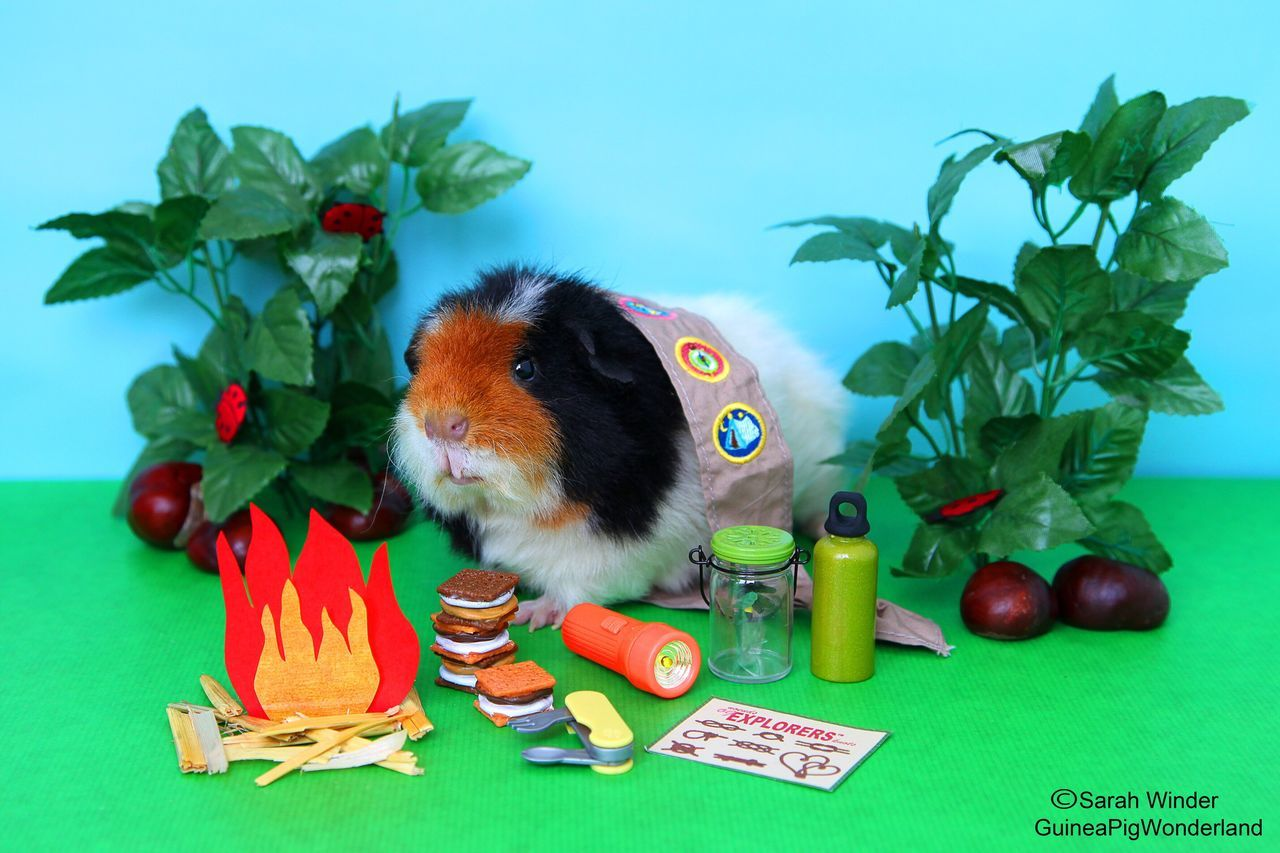 Mountain Monty Guinea Pig Pets Flower One Animal Guineapig Cute Cute Pets Scout First Eyeem Photo