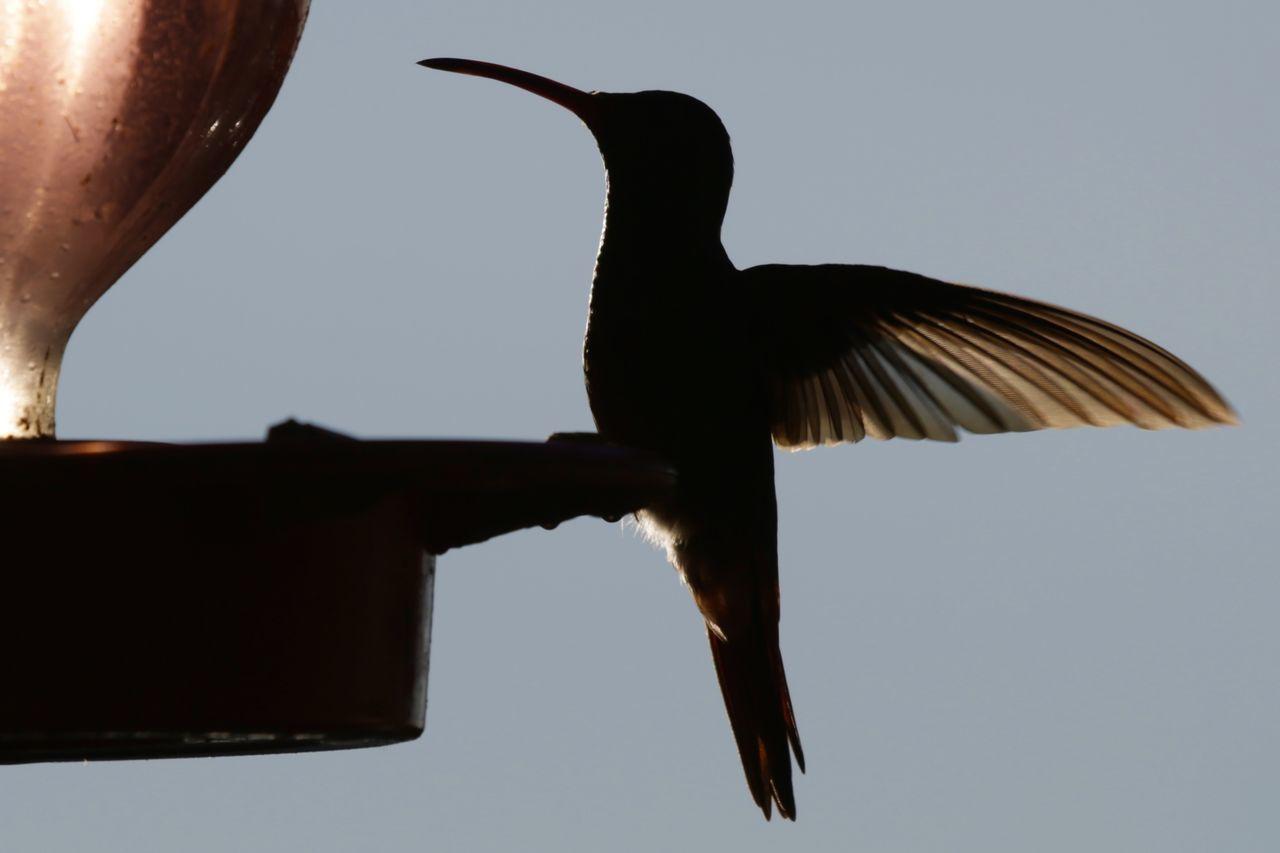 Animal Wildlife Animals In The Wild Beak Bird Day Hummingbird No People One Animal Outdoors Perching