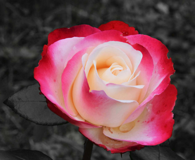 Flower colors - red-white rose Beauty In Nature Blooming Botany Flower Flower Head Focus On Foreground Fragility Growth In Bloom Nature Pink Color Plant Rosé Rose - Flower Single Rose Softness Roses Rose🌹 Roses🌹 Playing With Colors Playing With Colours