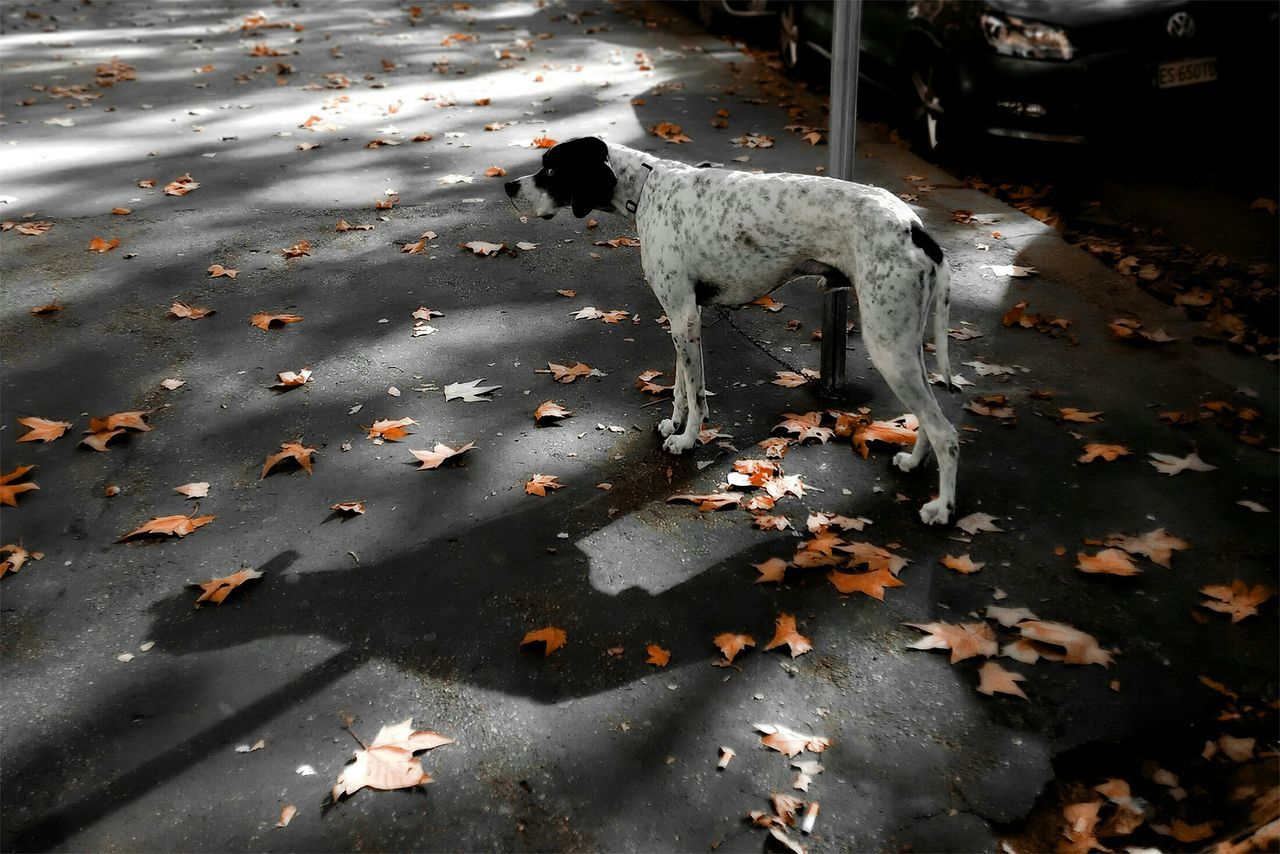 animal themes, pets, mammal, dog, one animal, domestic animals, day, high angle view, leaf, standing, outdoors, no people, autumn, nature