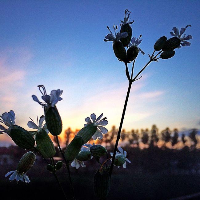 Sunset Sun ☀ Sunrise Sunrise_sunsets_aroundworld Flower Flowers Flower Collection Nature Nature Photography Naturelovers Photography Photooftheday Photo