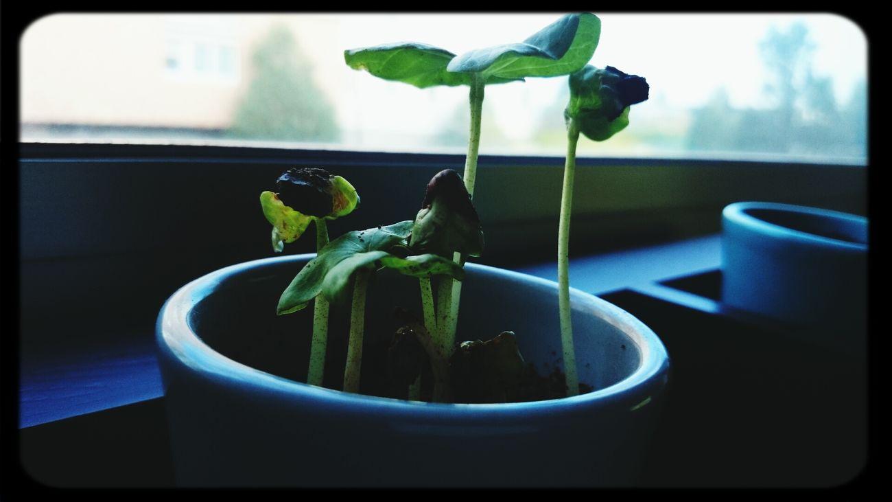 Cotonnier Gossypium Herbaceum My Plant At Home
