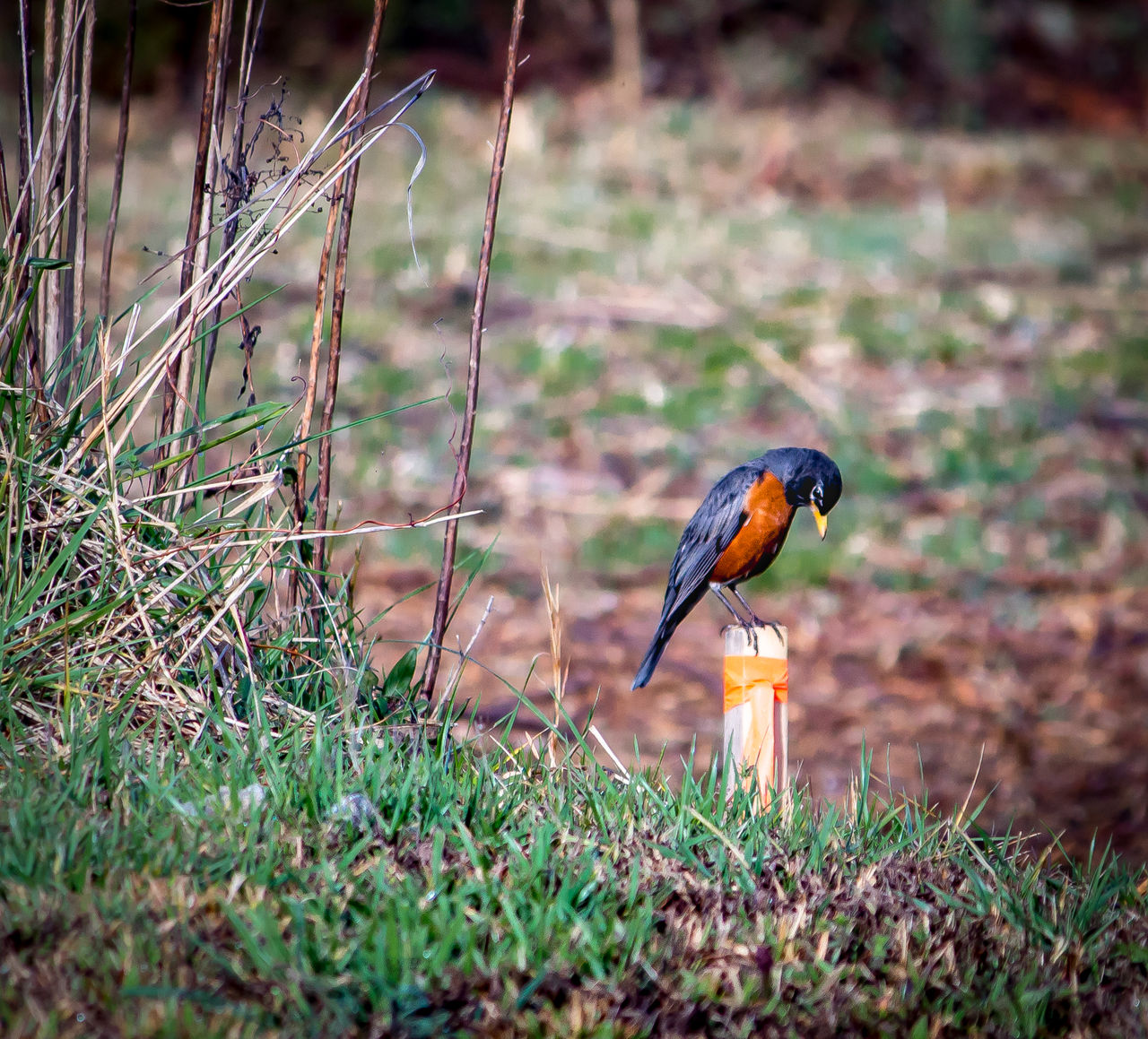 Robin perches Animal Wildlife Bird Day Grass Nature One Animal Outdoors Perching Robin Spring
