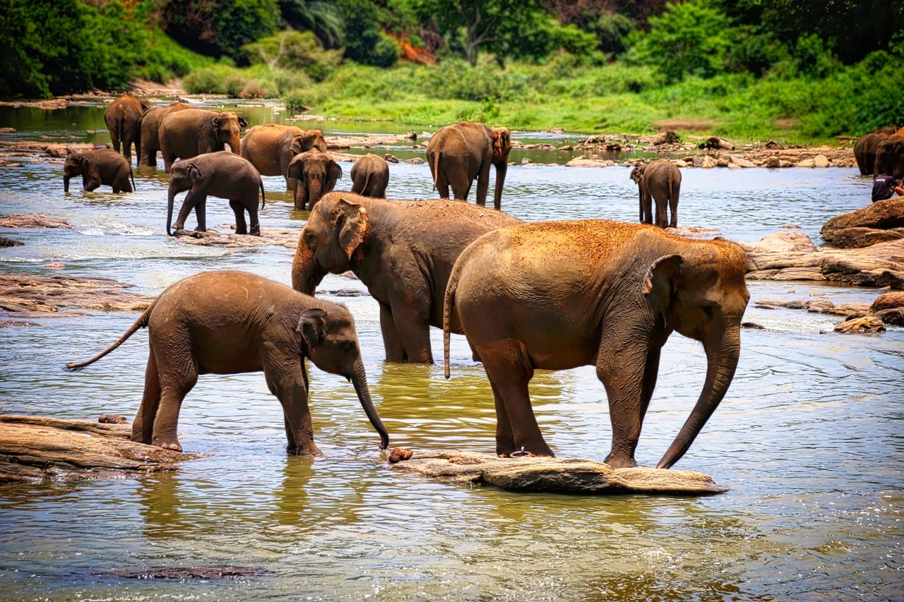 Elephants in a river Animal Animal Family Animal Themes Day Five Animals Grass Herbivorous Lake Lakeshore Livestock Mammal Medium Group Of Animals Nature No People Outdoors Water Young Animal Zoology