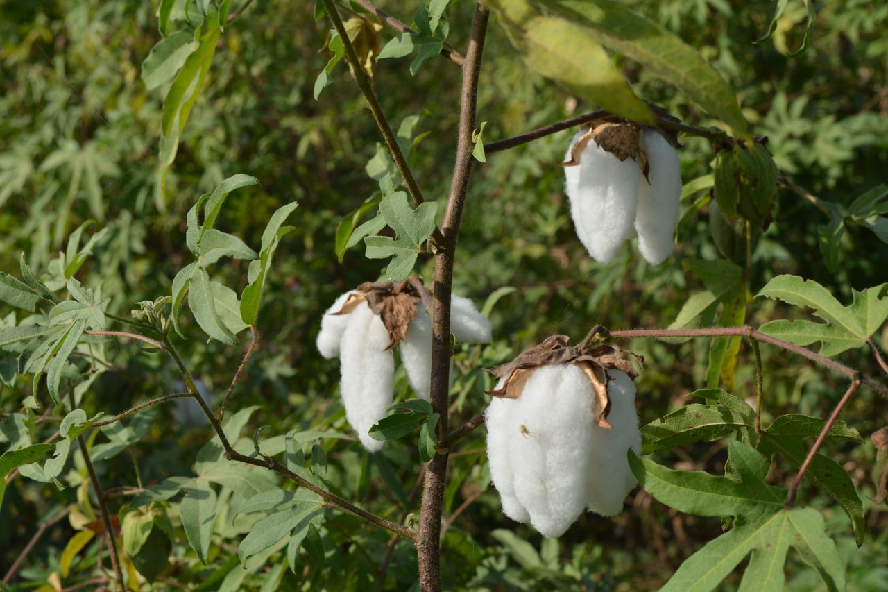 Beauty In Nature Bud Close-up Cotton Cotton Flower Like Ice Cotton Flowers Cotton Plants Day Flower Flower Head Focus On Foreground Fragility Freshness Green Color Growing Growth Leaf Nature No People Outdoors Petal Plant Stem White White Color