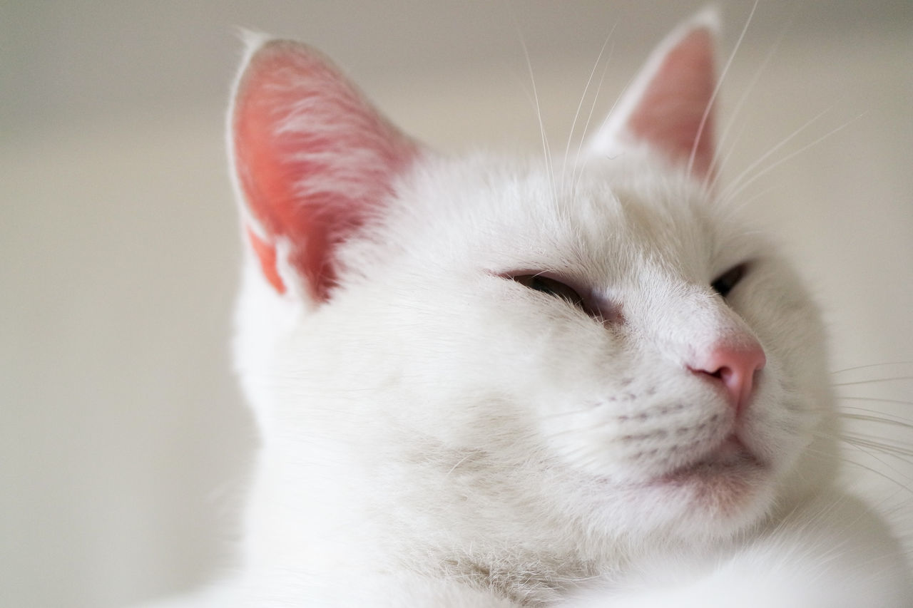 Animal Themes Bosslife Close-up Day Domestic Animals Domestic Cat Feline Fluffy Indoors  Mammal No People One Animal Pets SuperCat White Cat White On White