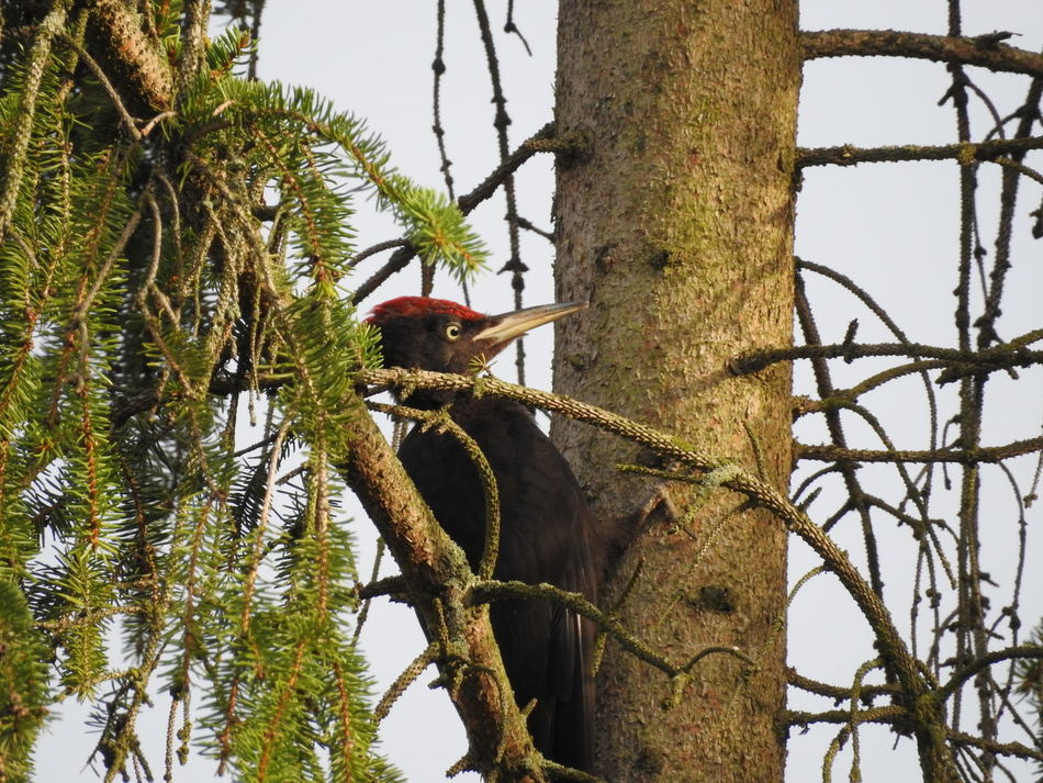 Beautiful stock photos of woodpecker,  Animal Themes,  Beauty In Nature,  Bird,  Branch