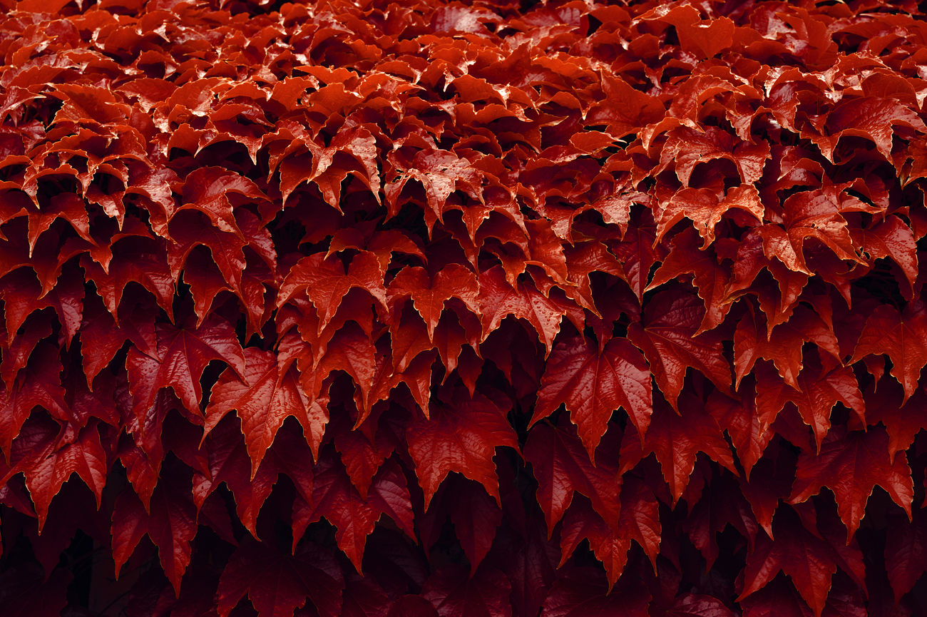 red leaves Close-up Day Full Frame Leaves Leaves_collection Leavesporn Leaves🌿 Light And Shadow Nature No People Outdoors Plant Plants And Flowers Red Structure And Nature