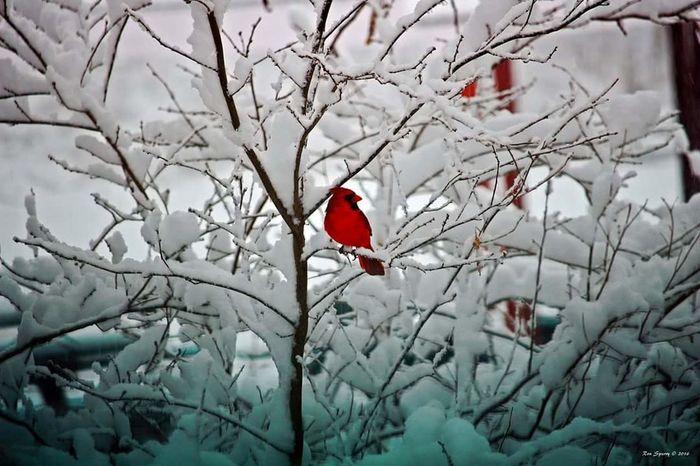 Winter Cardinal Birdwatching Bird Photography EyeEm Nature Lover EyeEm Birds Cardinal Snow Birds