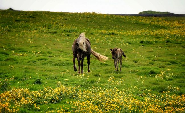 Iclandic Horses Capture The Moment Beauty In Ordinary Things Summer Time  Enjoying Life Beauty In Nature Nature On Your Doorstep Hvalsnes Flowers, Nature And Beauty