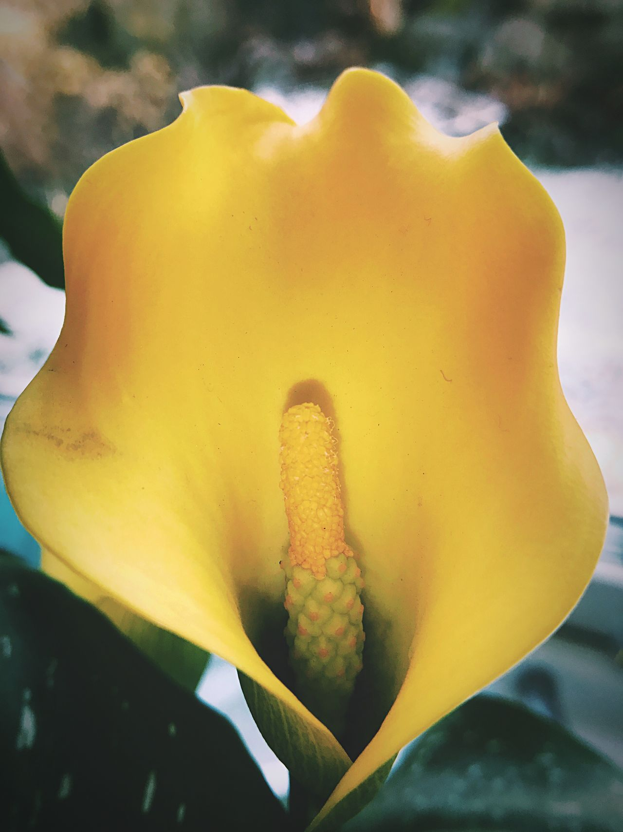 Zantedeschia in bloom Flower Petal Nature Growth Beauty In Nature Fragility Freshness Flower Head Plant Yellow Close-up Outdoors Stamen No People Day Blooming Springtime Flower Photography Flowers, Nature And Beauty Flower Collection Sunrise Flowers,Plants & Garden Plants Flowers Flowerporn
