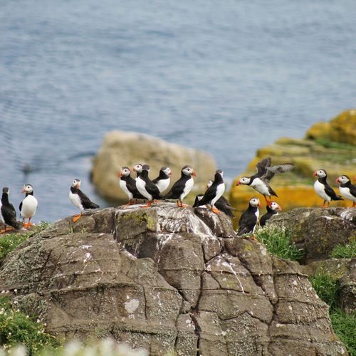 I love those birds! Animals In The Wild Bird Animal Wildlife EyEm Selects Large Group Of Animals Flock Of Birds No People Outdoors Beautifulview Travel Destinations Scotland Puffins Puffin Watching Puffin Colony Seabird Beauty In Nature Cliffs And Water Cliffs And Sea Seabirds Isle Of May EyeEm Selects