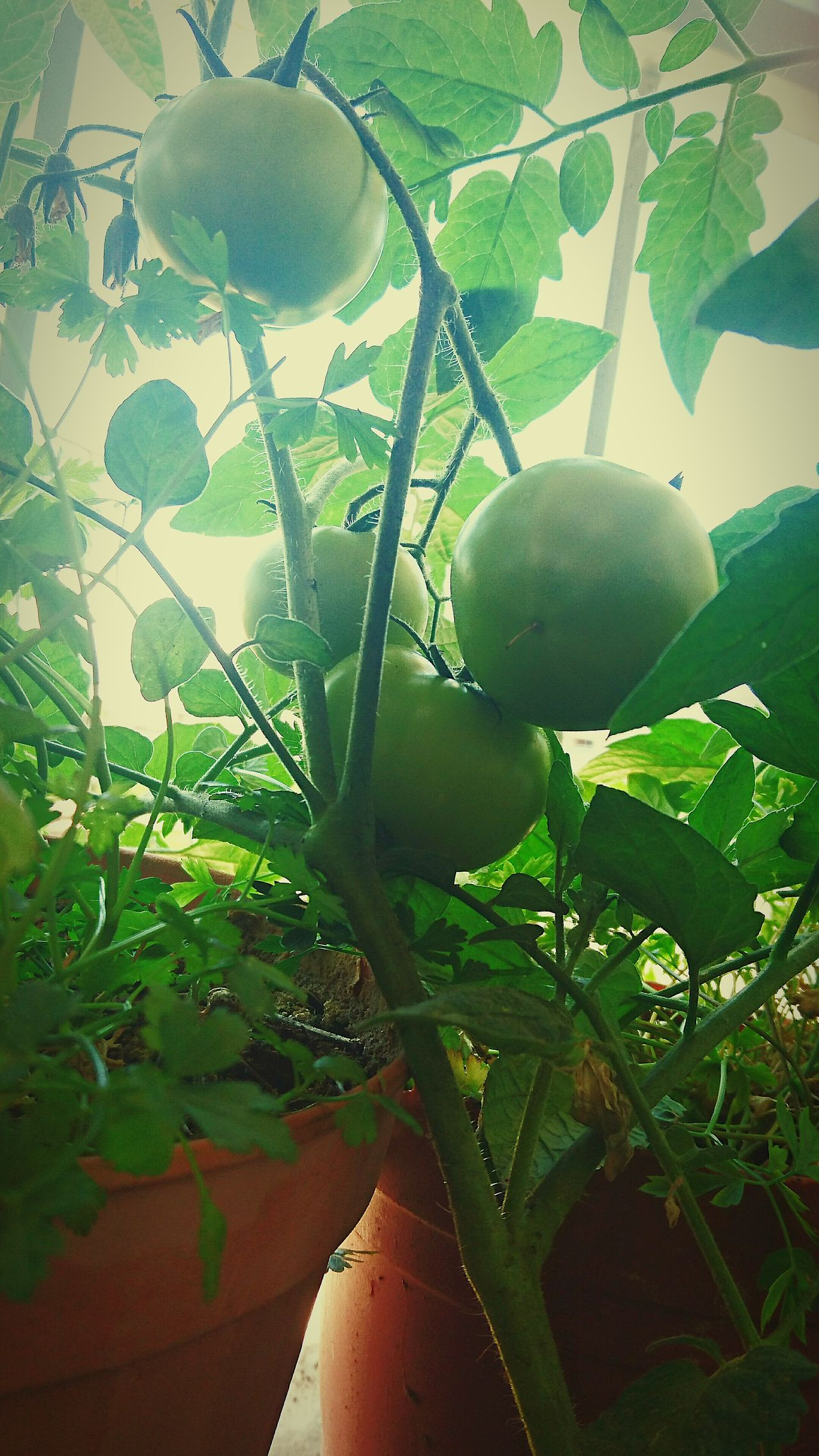 Tomato Tomatoes Green Tomatoes Green Tomato Potted Plant Plants Vegetables Balcony Garden Balcony Plants Naturesdiversities Natures Diversities Taking Photos Green Planting Tomatoes Pot Plant Vegetable Vegetable Garden Balcony Hobby Pot Tomatoplant Tomato Plant Green Vegetables Green Vegetable Vegetarian Food
