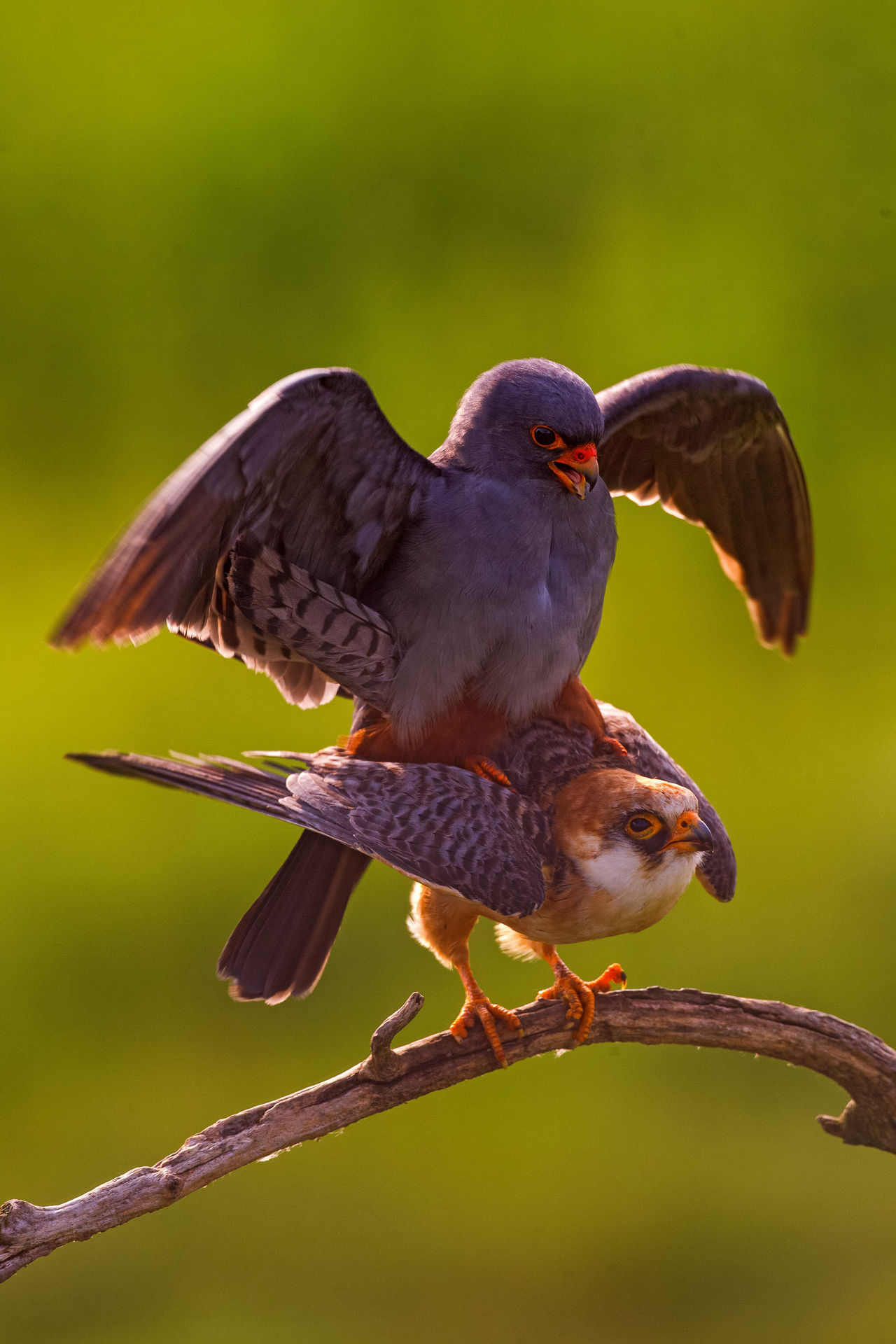 Red footed flacon Animal Themes Animals In The Wild Beak Bird Bird Of Prey Copulating Copulation Falco Vespertinus Falcon Faucon Kobez Nature Red-footed Falcon Wildlife Zoology