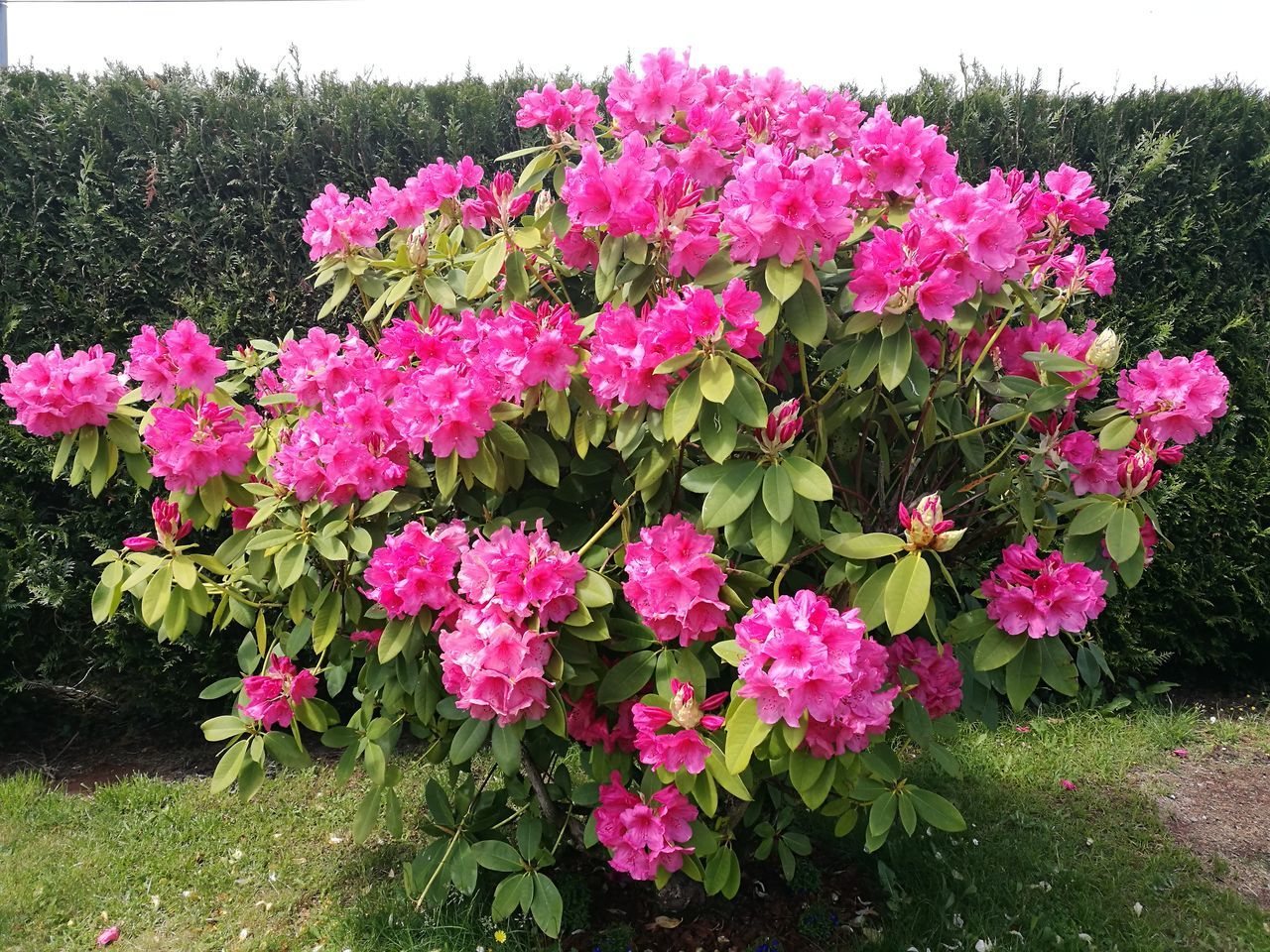 Flower Pink Color Nature Growth Plant Beauty In Nature Fragility Outdoors Freshness Day No People Blooming Flower Head Close-up rodho