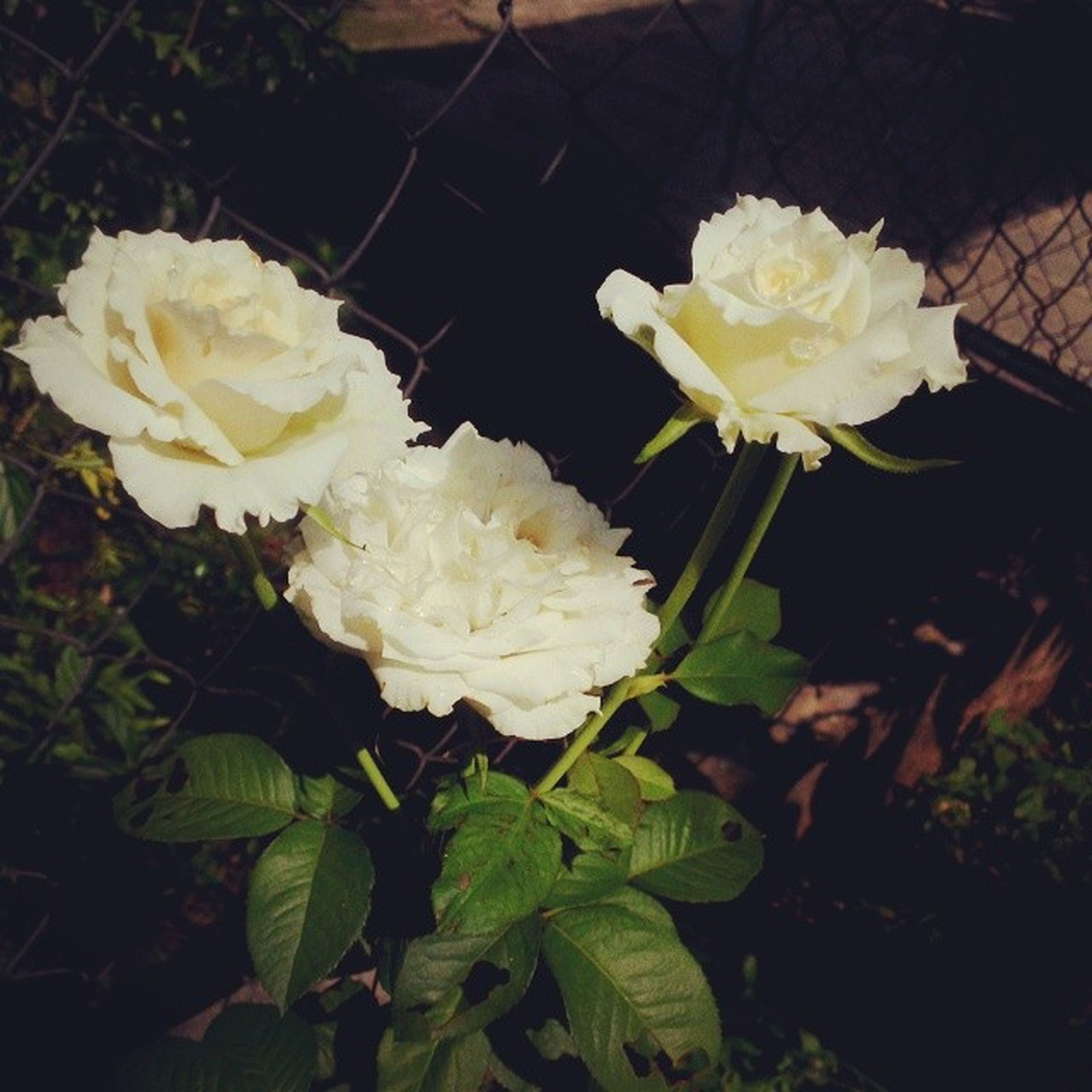 flower, petal, freshness, fragility, flower head, rose - flower, beauty in nature, blooming, growth, white color, close-up, nature, plant, leaf, yellow, high angle view, in bloom, blossom, rose, bunch of flowers