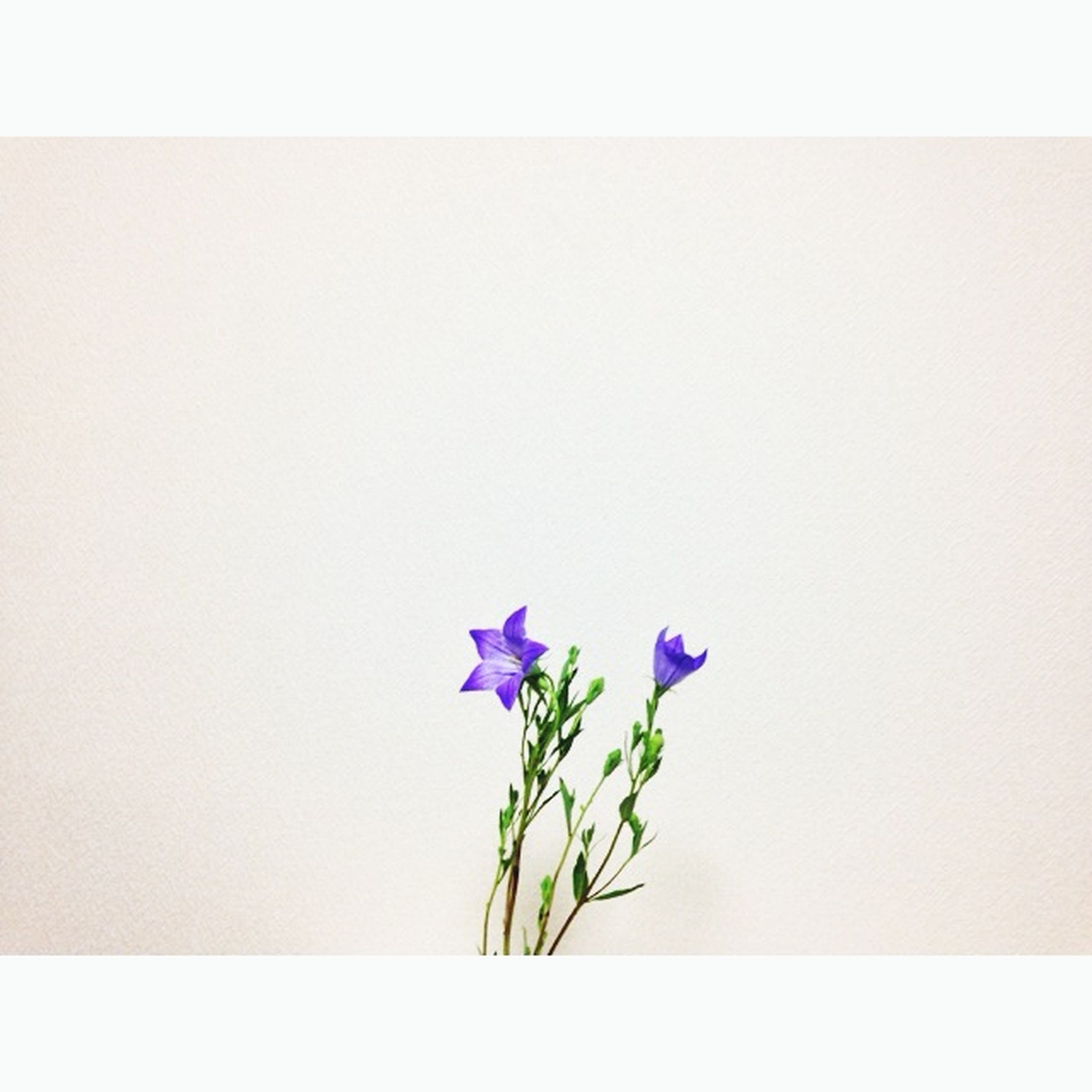 flower, fragility, freshness, petal, flower head, growth, copy space, beauty in nature, plant, stem, transfer print, purple, nature, auto post production filter, blooming, close-up, leaf, blossom, in bloom, blue