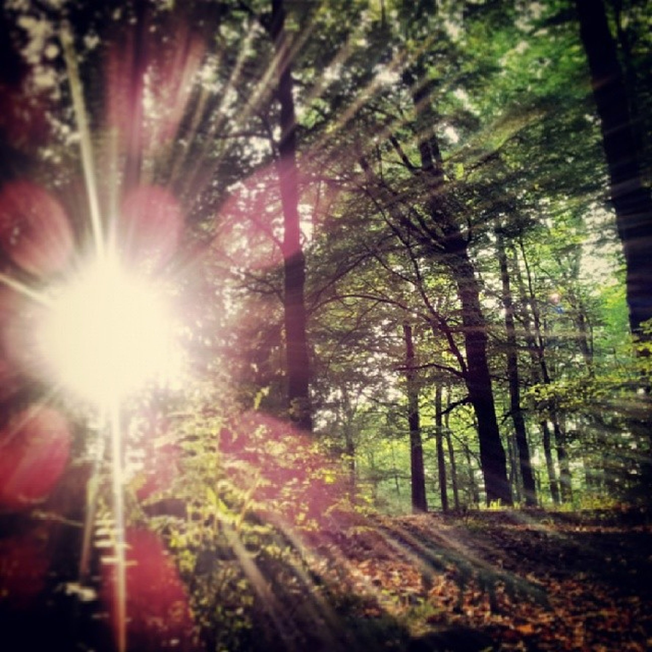 tree, sunbeam, sun, lens flare, sunlight, growth, nature, forest, tree trunk, tranquility, sunny, bright, beauty in nature, tranquil scene, outdoors, low angle view, day, back lit, scenics, streaming