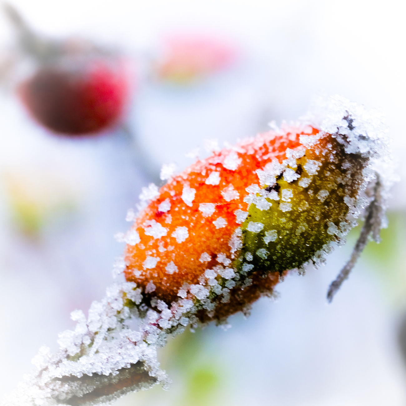 Winterfruit Beauty In Nature Bokeh Close-up Cold Temperature Day Eiskristalle Flower Flower Head Fragility Fresh On Eyeem  Freshness Frozen Hagebutten Nature No People Outdoors Red Winter Winter Wonderland
