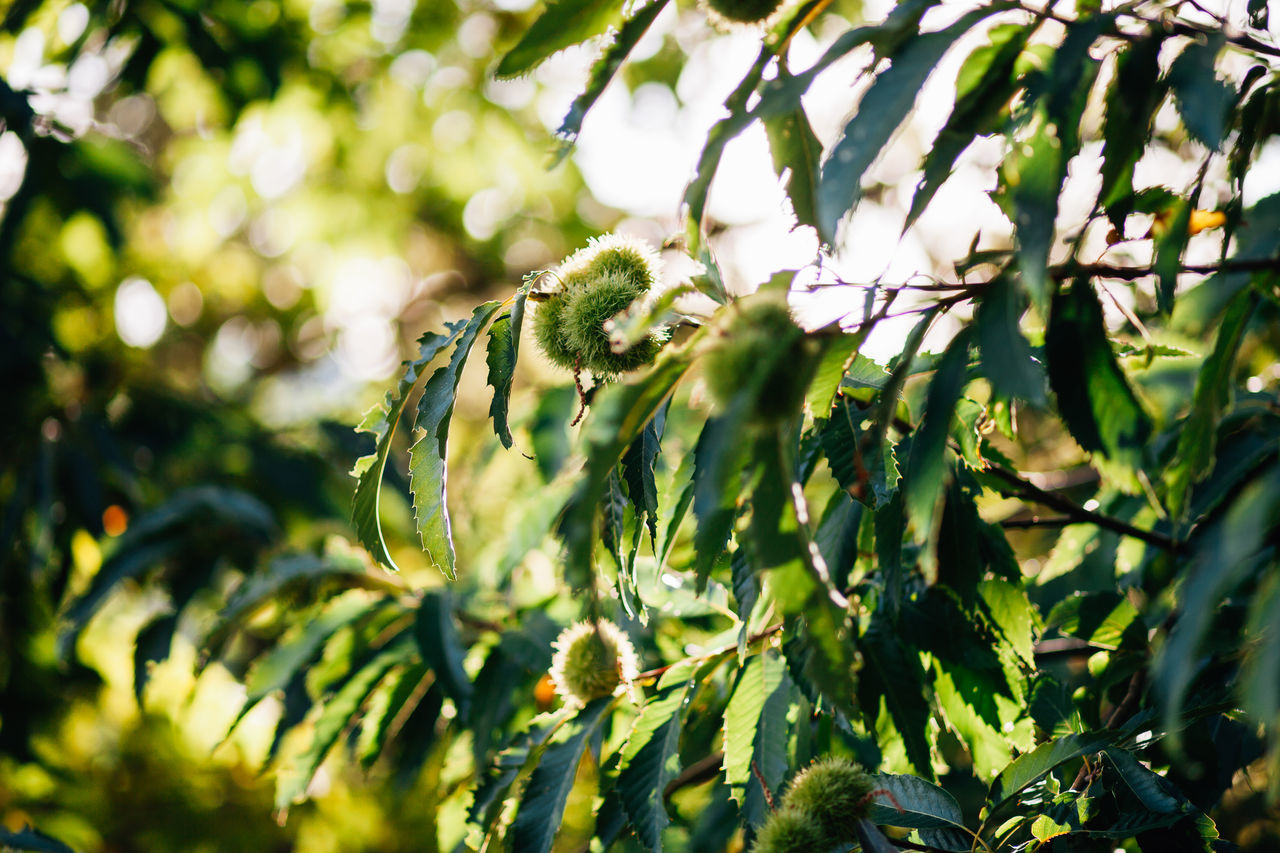 Autumn Beauty In Nature Branch Chestnut Chestnuts Close-up Day Fruit Fruits Green Color Growth Leaf Nature No People Outdoors Plant Tree Tree