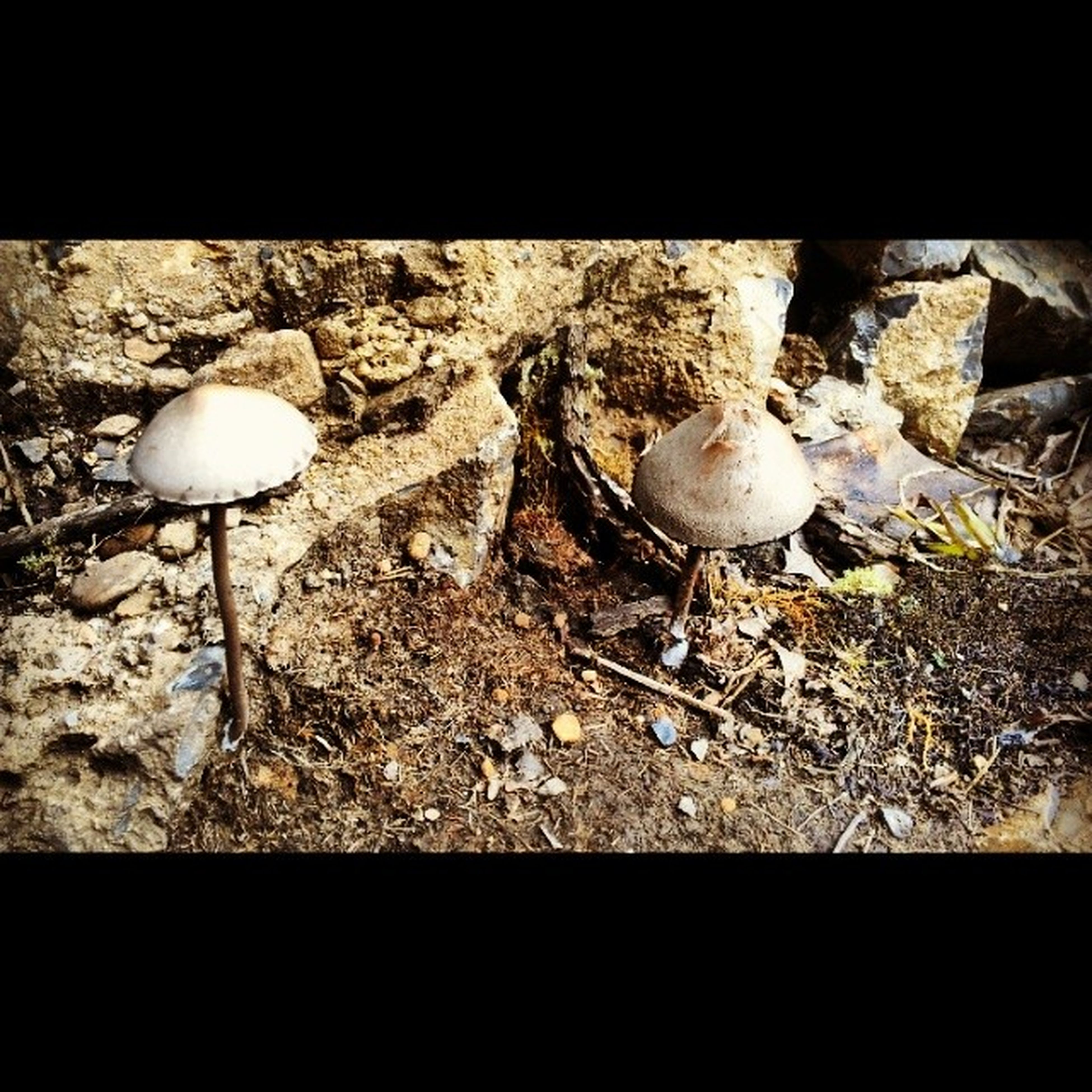 auto post production filter, high angle view, transfer print, close-up, mushroom, no people, ground, nature, day, field, outdoors, dirt, sunlight, growth, fungus, fragility, vignette, dry, plant, still life
