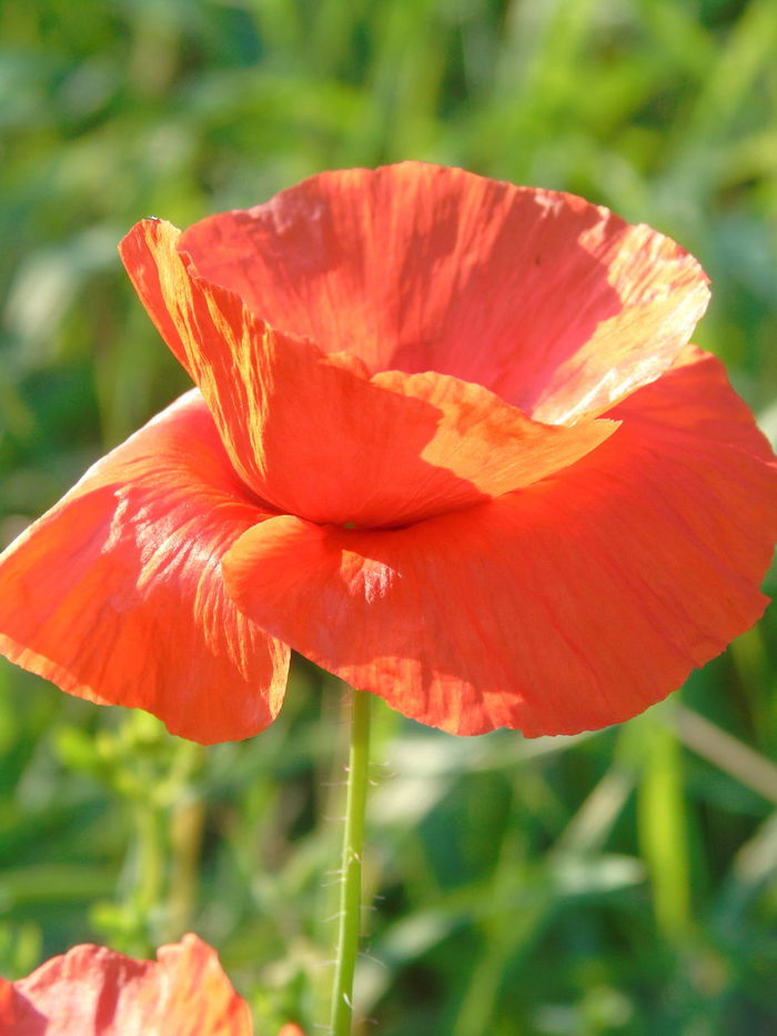 Flower Plant Poppy Nature Flower Head Petal Red No People Outdoors Focus On Foreground Close-up Day Beauty In Nature Growth Freshness Fragility Poppy Flower Like It Lieblingsblume