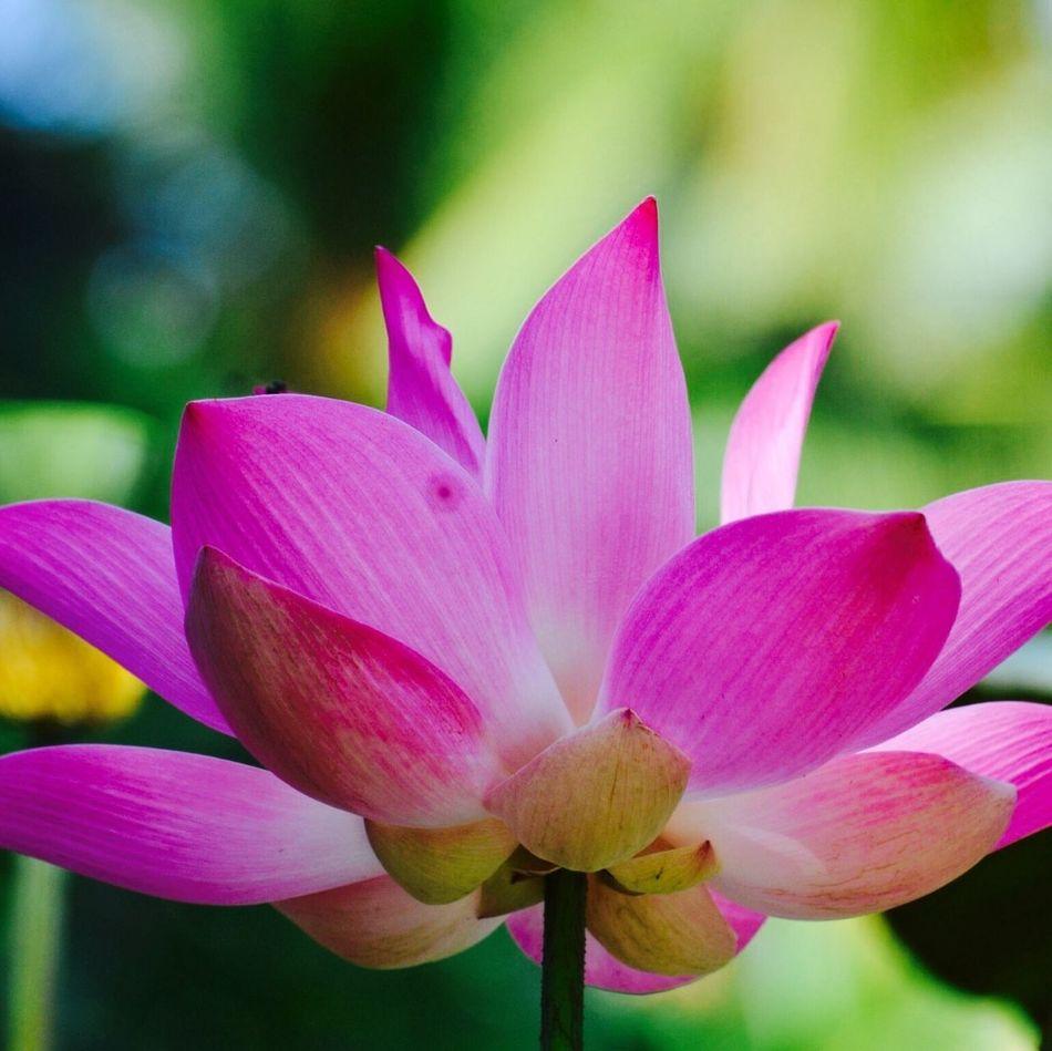 the magical beauty of Lotus EyeEm Gallery Balinese Life EyeEm Nature Lover Flowerporn