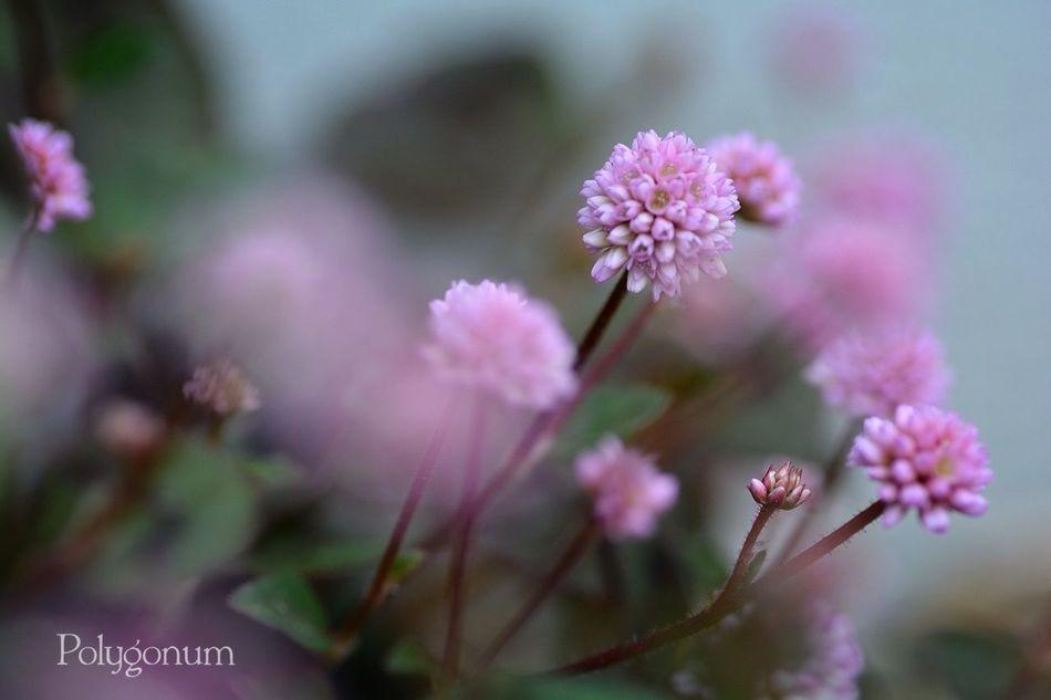 Japan Nikon D5200 花 TAMROM EyeEm 2015 Flower Cute 庭に咲く花 Polygonum