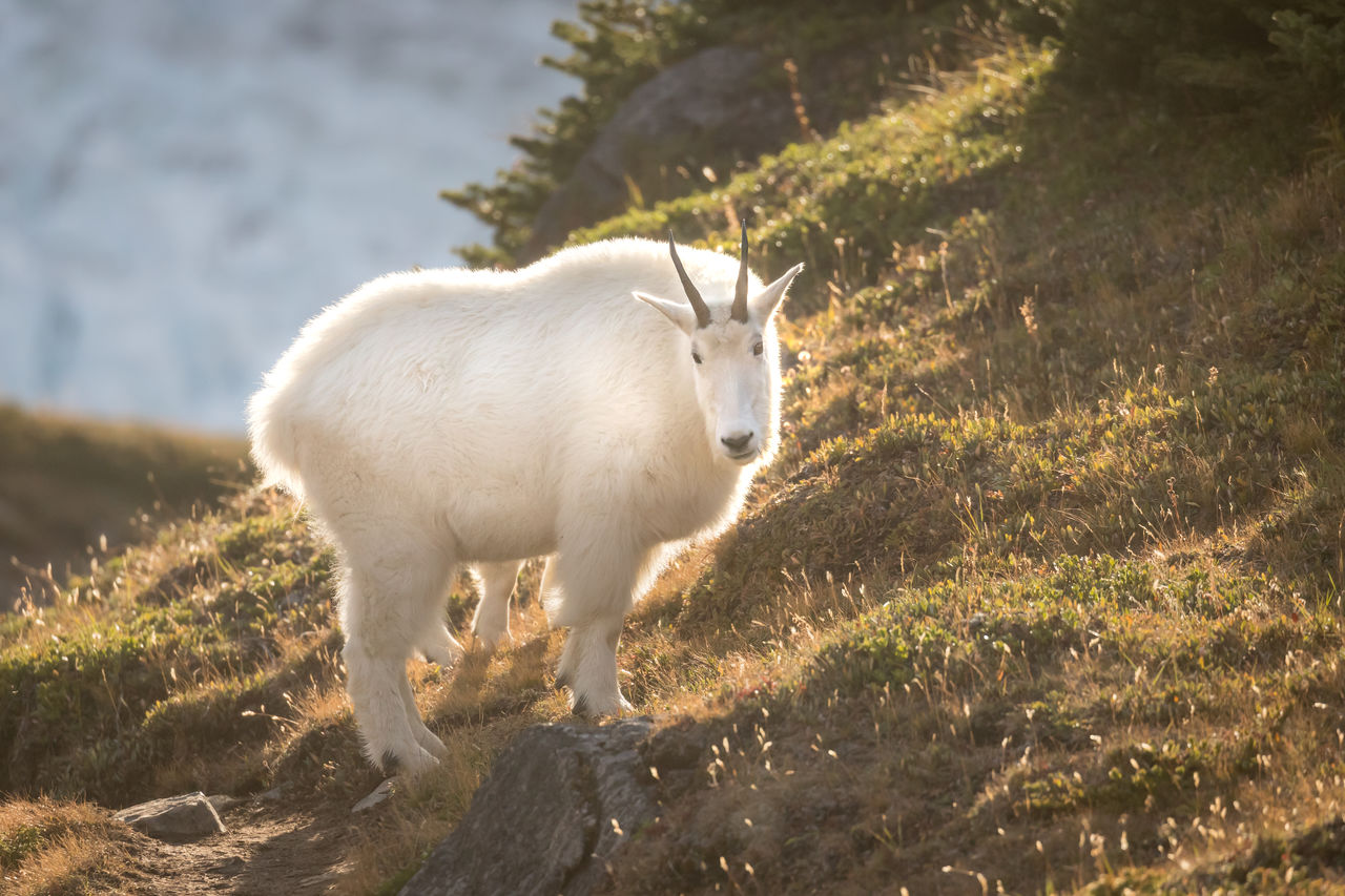 One of the beautiful things about being up high in the mountains at dusk is the low angle the sun makes during its final minutes of the day. A halo of light glows though the thick winter coat of this Rocky Mountain goat (Oreamnos americanus) as it grazes in the high altitude meadows leading down from snowbird pass. The blue gray in the upper left is the Robson glacier. Mt Robson Provincial Park, British Columbia, Canada. Love Life, Love Photography Alpine Canadian Rockies  Goat Grass Grazing Hiking Looking At Camera Mountain Goat Mt Robson Provincial Park Oreamnos Americanus Snowbird Snowbird Pass Wild Animal British Columbia Canada Day Grass Mammal Meadow Nature One Animal Outdoors Rocky Mountain Goat Rocky Mountains Wildlife