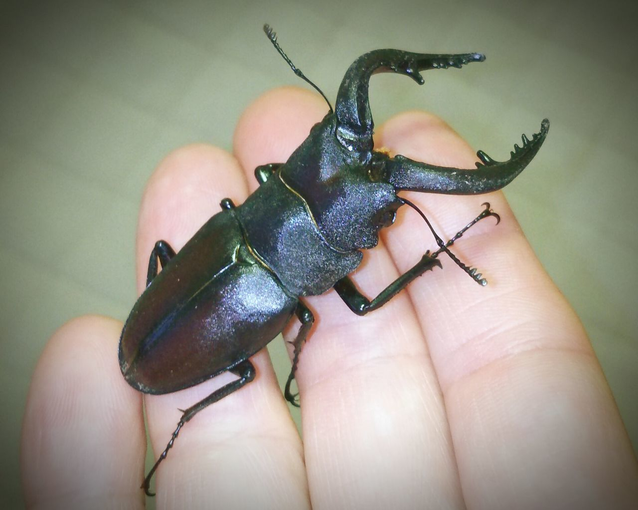 Stagbeetle Japan クワガタ