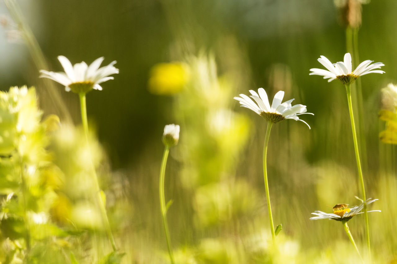 flower, growth, nature, beauty in nature, plant, fragility, field, petal, flower head, freshness, blooming, day, no people, grass, green color, outdoors, yellow, close-up, animal themes