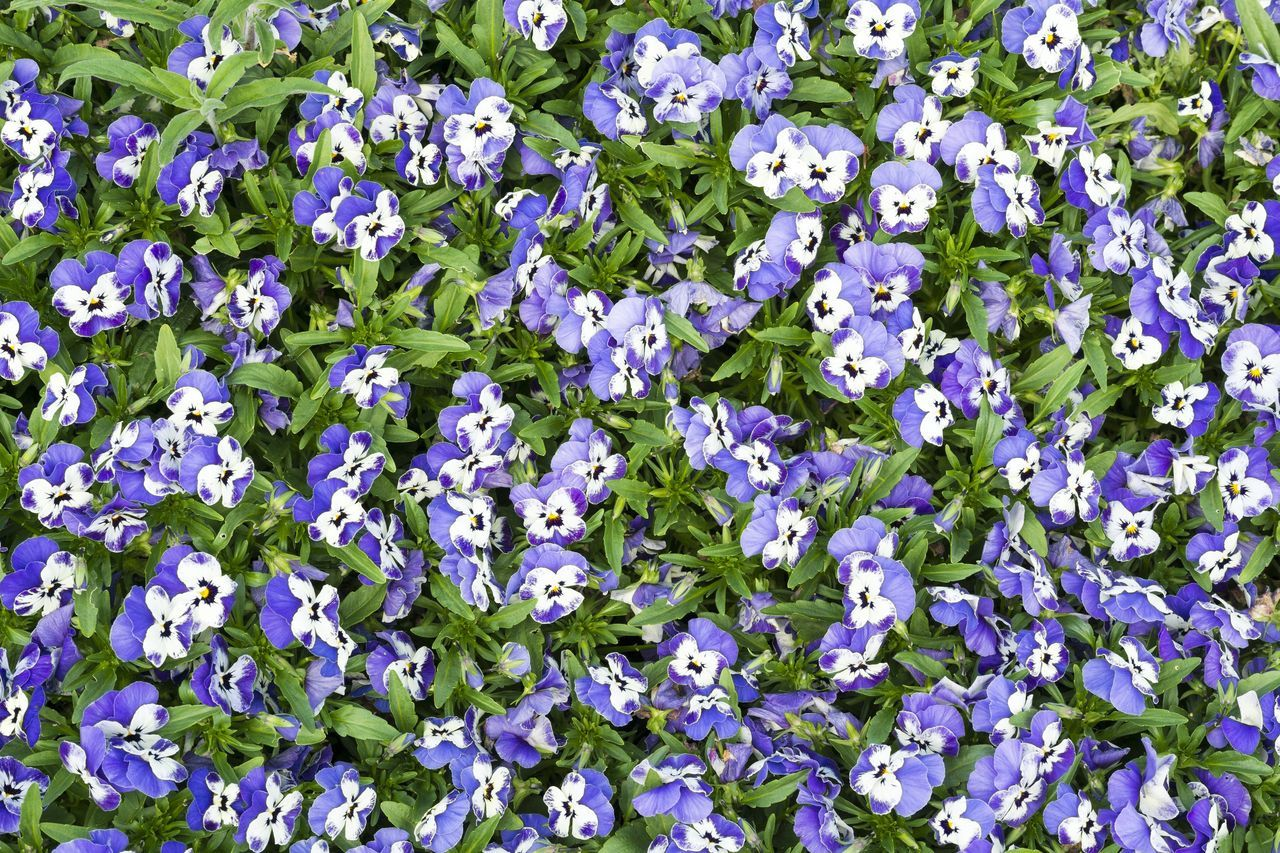 Violet Pansy. Violet Pansies Pansy Pansies Pansy Flower Violet Violet Flowers Flowers Flower Head Blooming May Growth Growing Beauty In Nature Garden Plants Nature