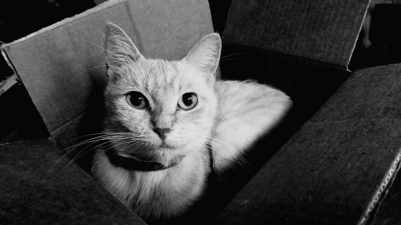 Pets Domestic Cat Cardboard Box Domestic Animals Animal Themes Looking At Camera Feline Close-up Cute Indoors  One Animal EyeEm Selects Pet Portraits